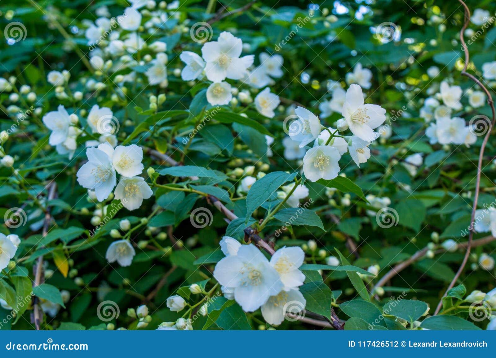 Amazing White Jasmine Flowers On The Bush In The Garden Stock Photo