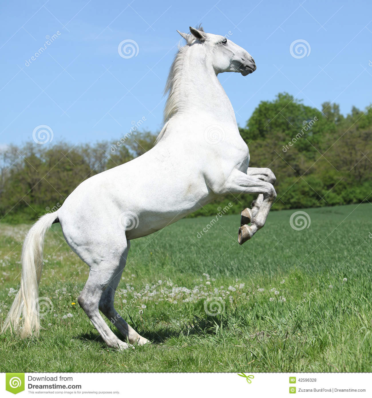 Amazing White Lipizzaner Prancing In Spring Stock Photo