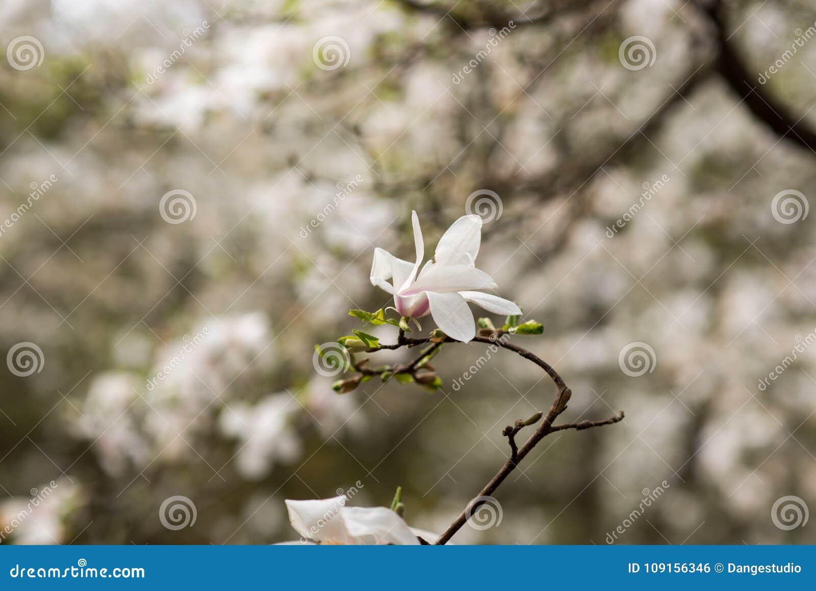 Amazing White Magnolia Flowers In The Spring Season Stock Photo
