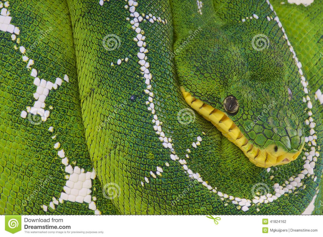 Amazon Basin Tree Boa / Corallus Batesi Stock Photo - Image of heat ...