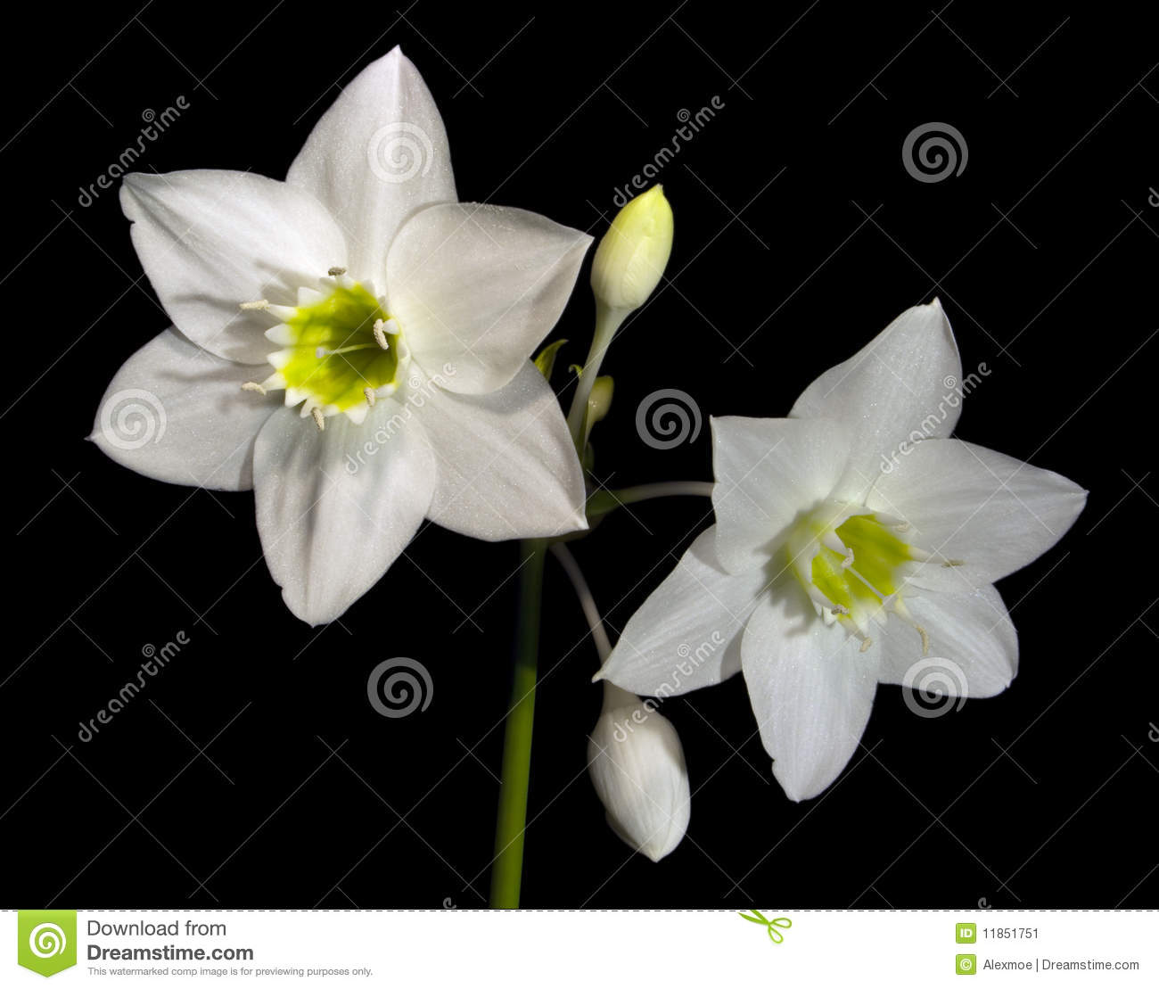 Amazon Lily Blooms Stock Image Image Of Tropical Window 11851751