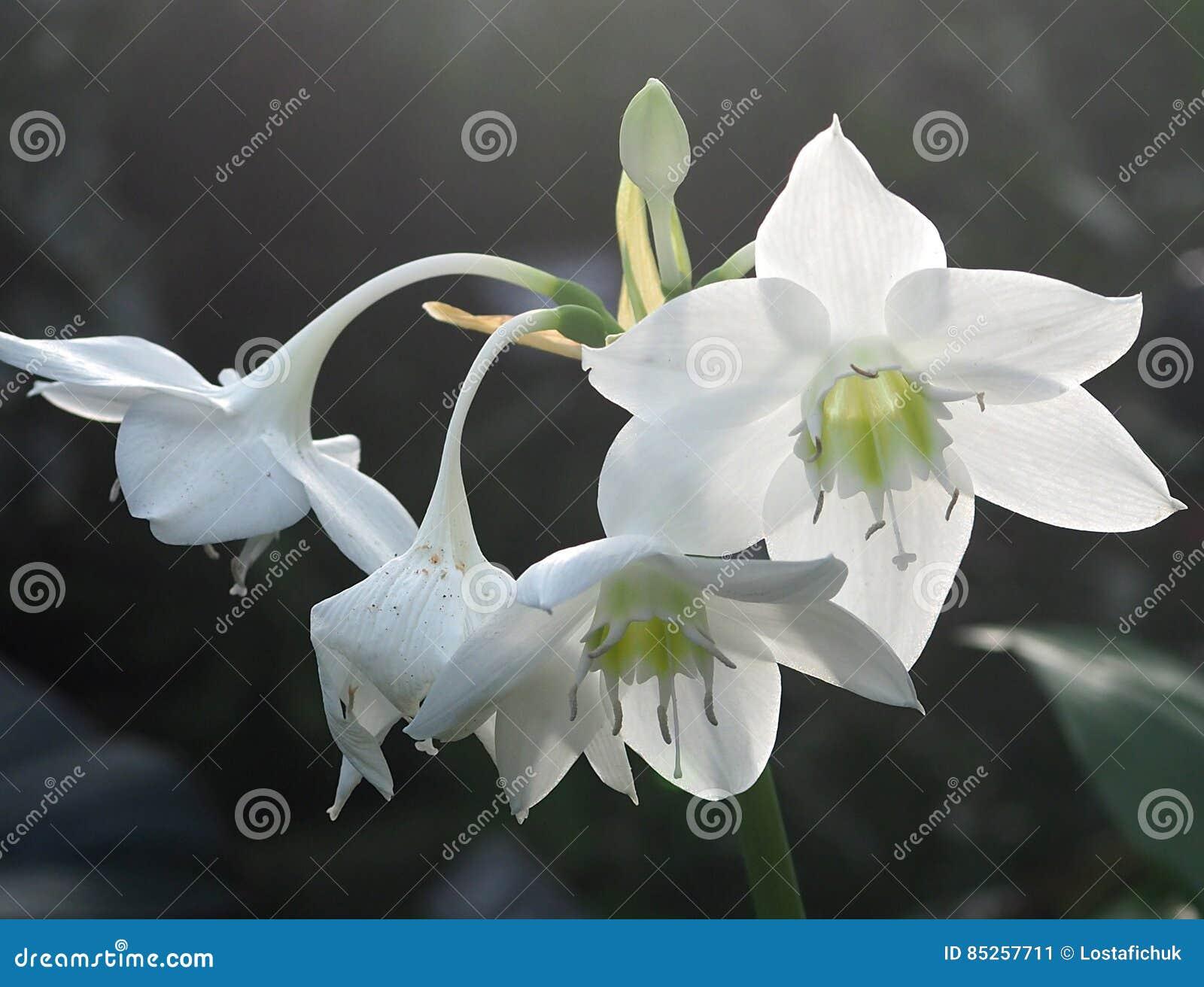 Amazon Lily Or Eucharis Stock Image Image Of Amazon 85257711