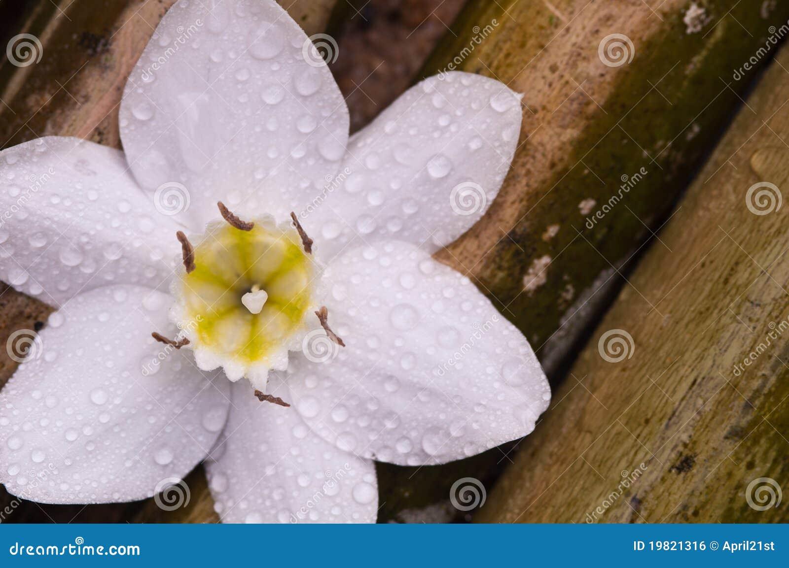 Amazon Lily White Flower On Bamboo Wood Stock Photo Image Of Card