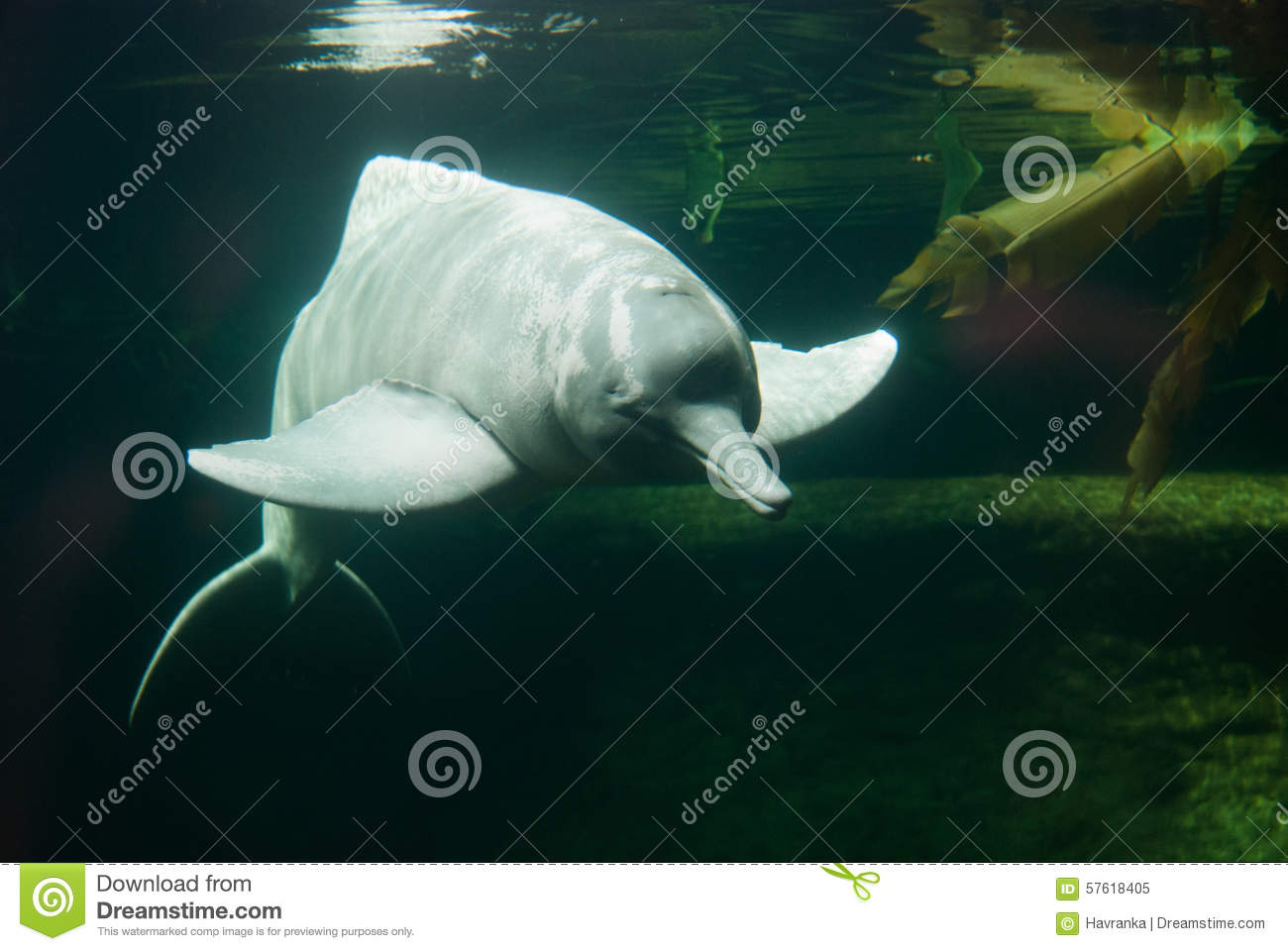 Amazon river dolphin stock image. Image of doplhin, closeup - 57618405