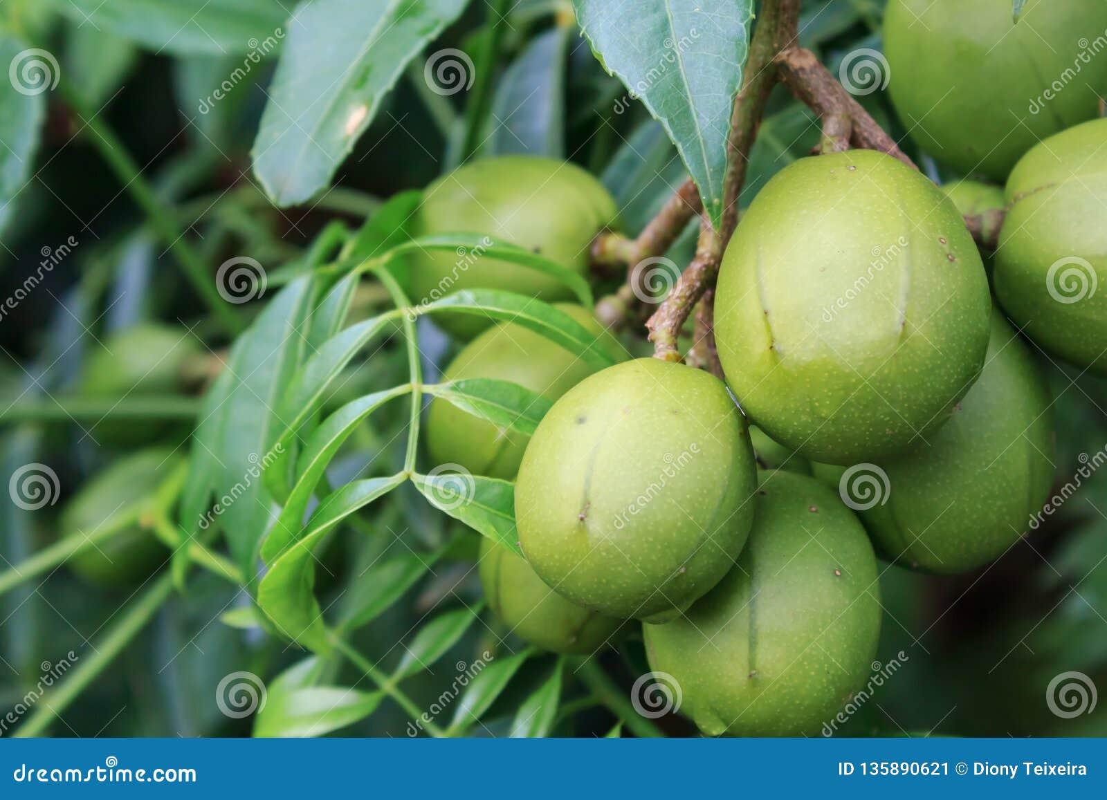 Ambarella fruits Spondias dulcis, also known as June Plum, no Brazil