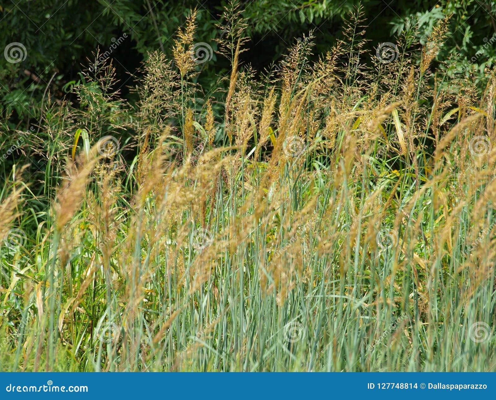 Amber Waves Of Grain Comes una volta regolarmente