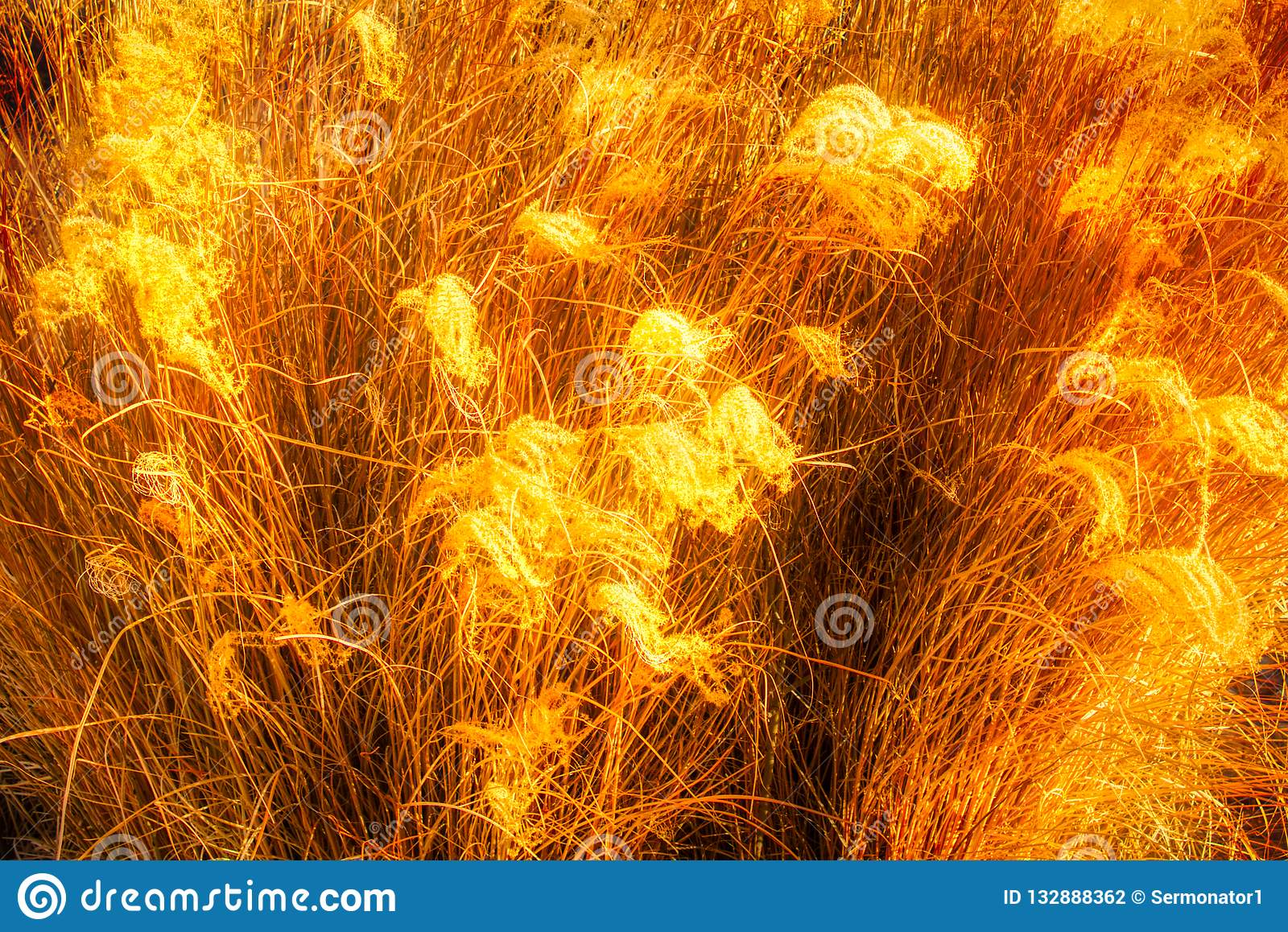 Amber Waves Of Grain Or Saw Grass Glowing In The Sun Stock Photo