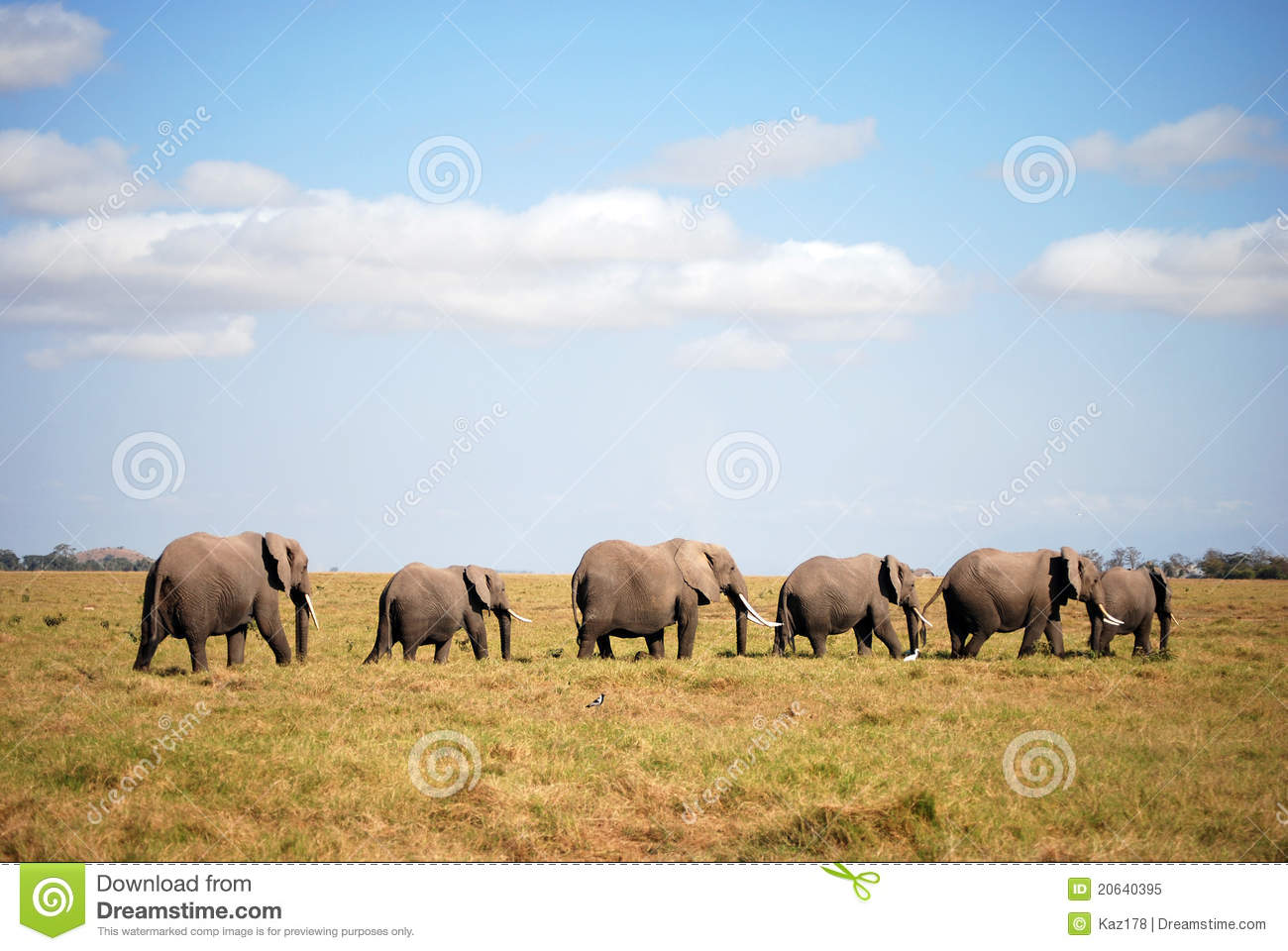ambesoli elephants in line royalty free stock photo