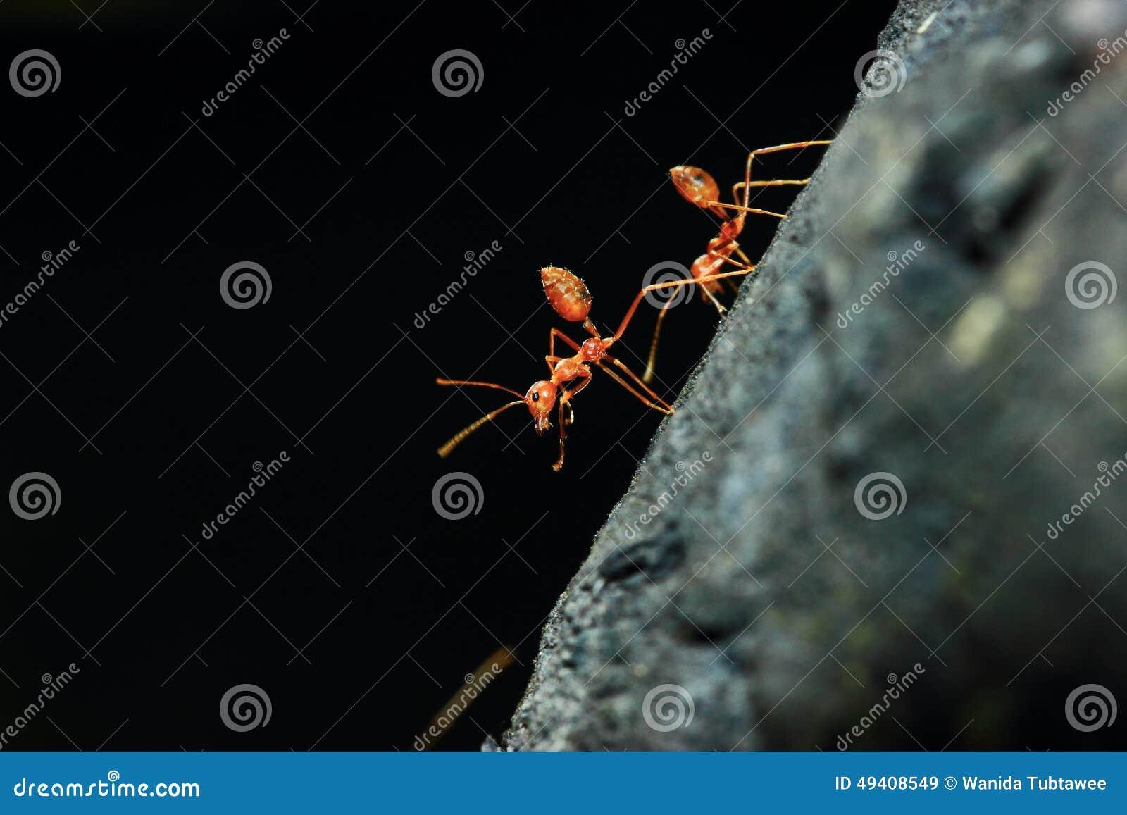 Download Ameisen stockbild. Bild von gleiskettenfahrzeuge, heuschrecken - 49408549