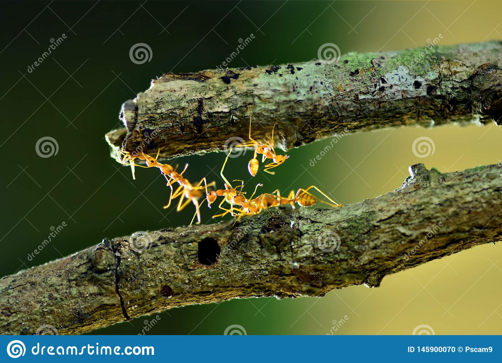 Ameisen, die Brücke, Teamwork konstruieren