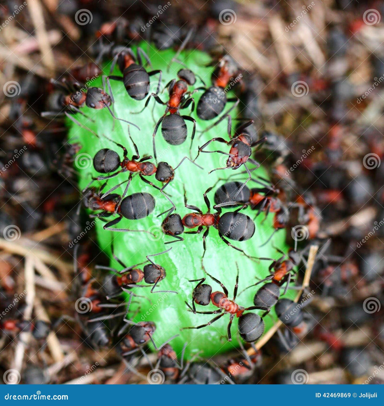Ameisen, die Süßigkeit essen