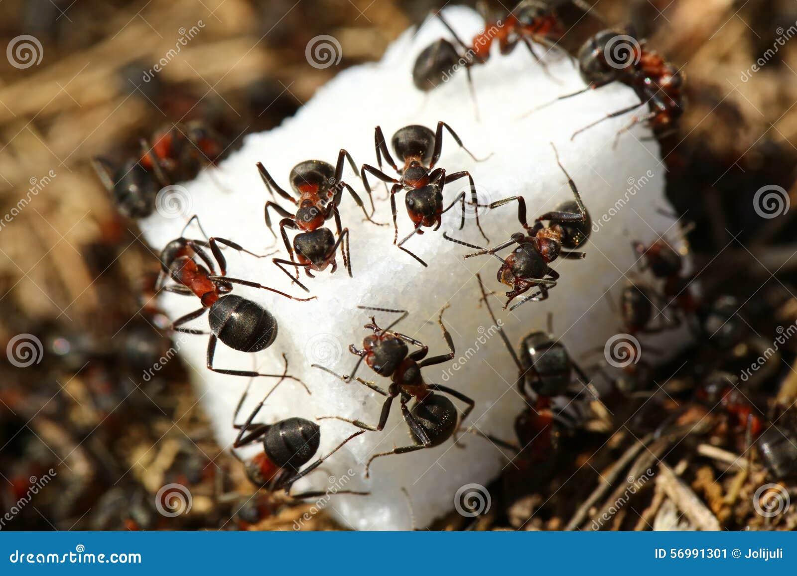 Ameisen, die Zucker essen