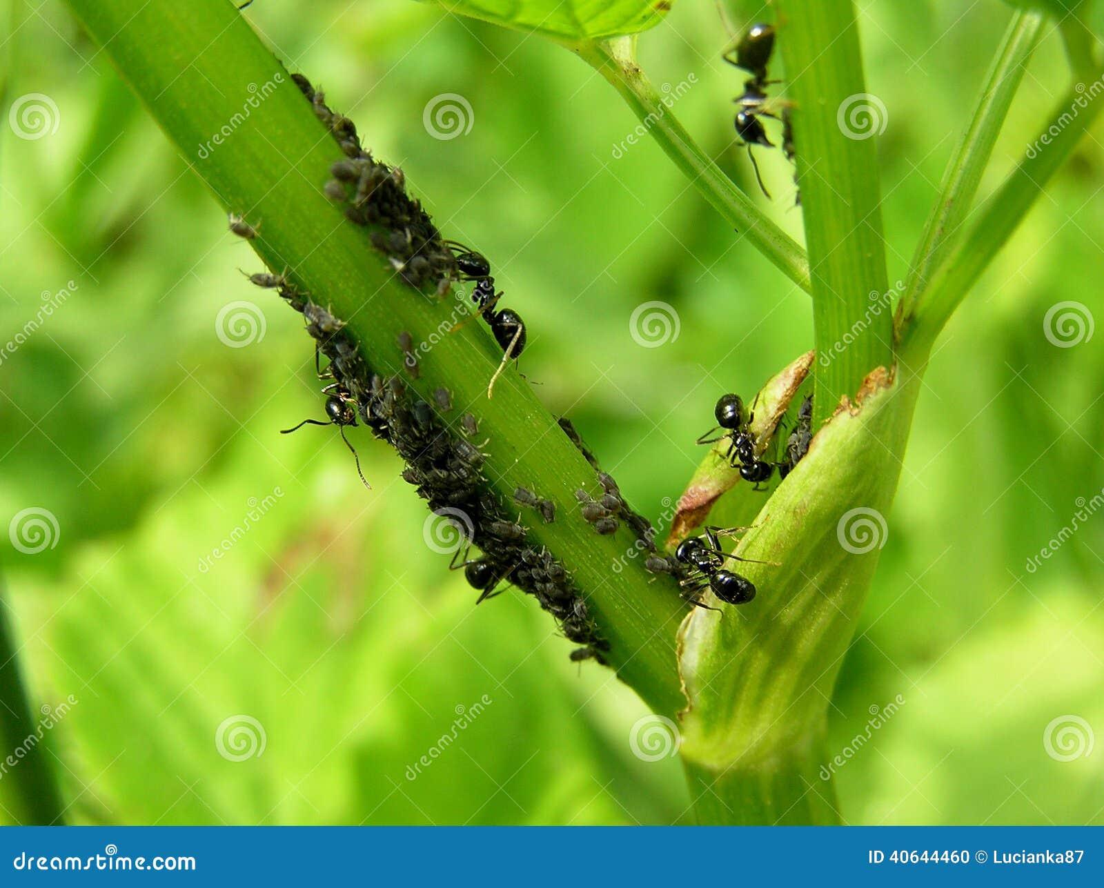 Ameisen essen Blattläuse