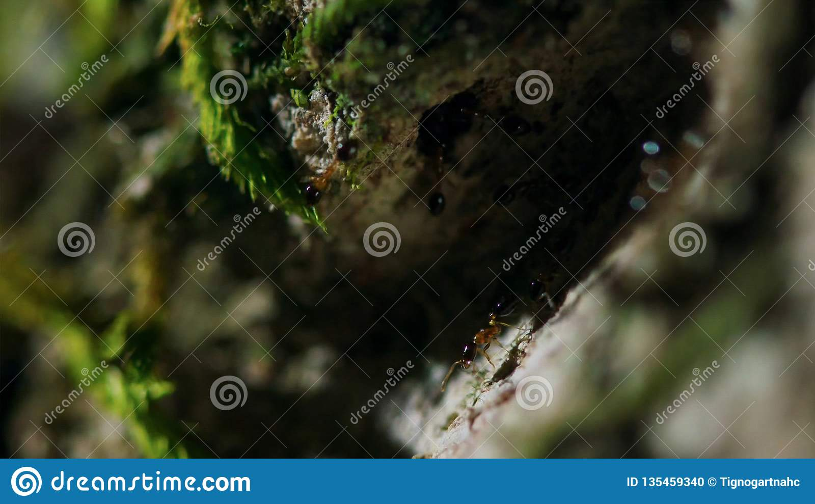 Ameisen tragen Eier auf einem Baum im tropischen Regenwald