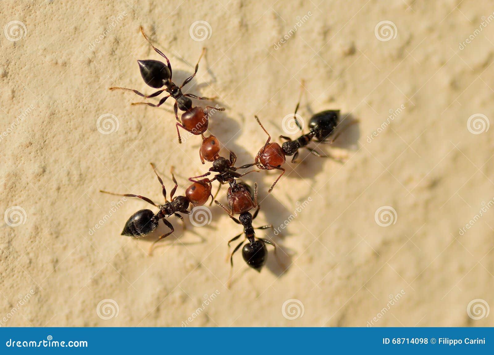 Ameisen Krieg