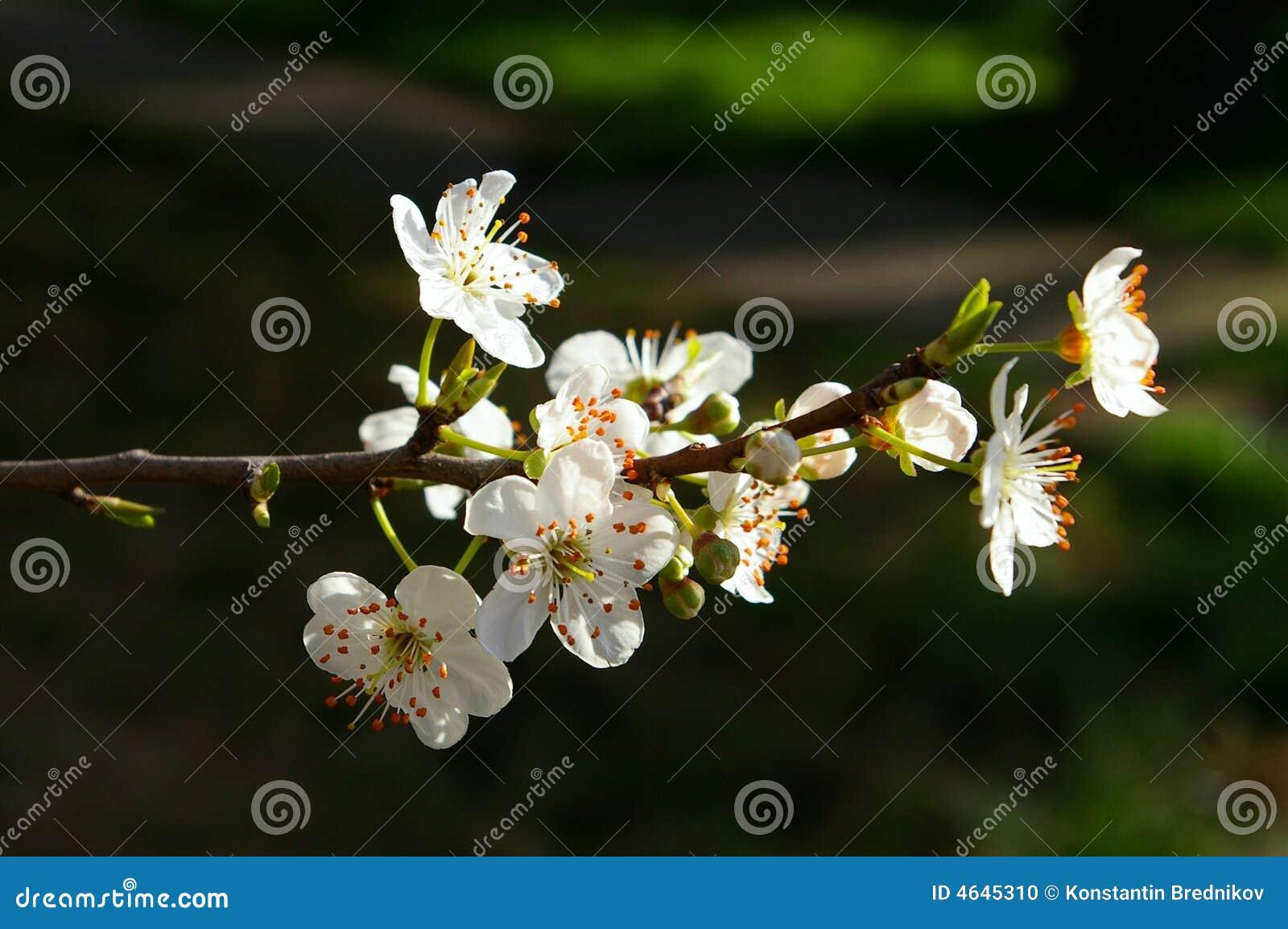 Ameixa de florescência