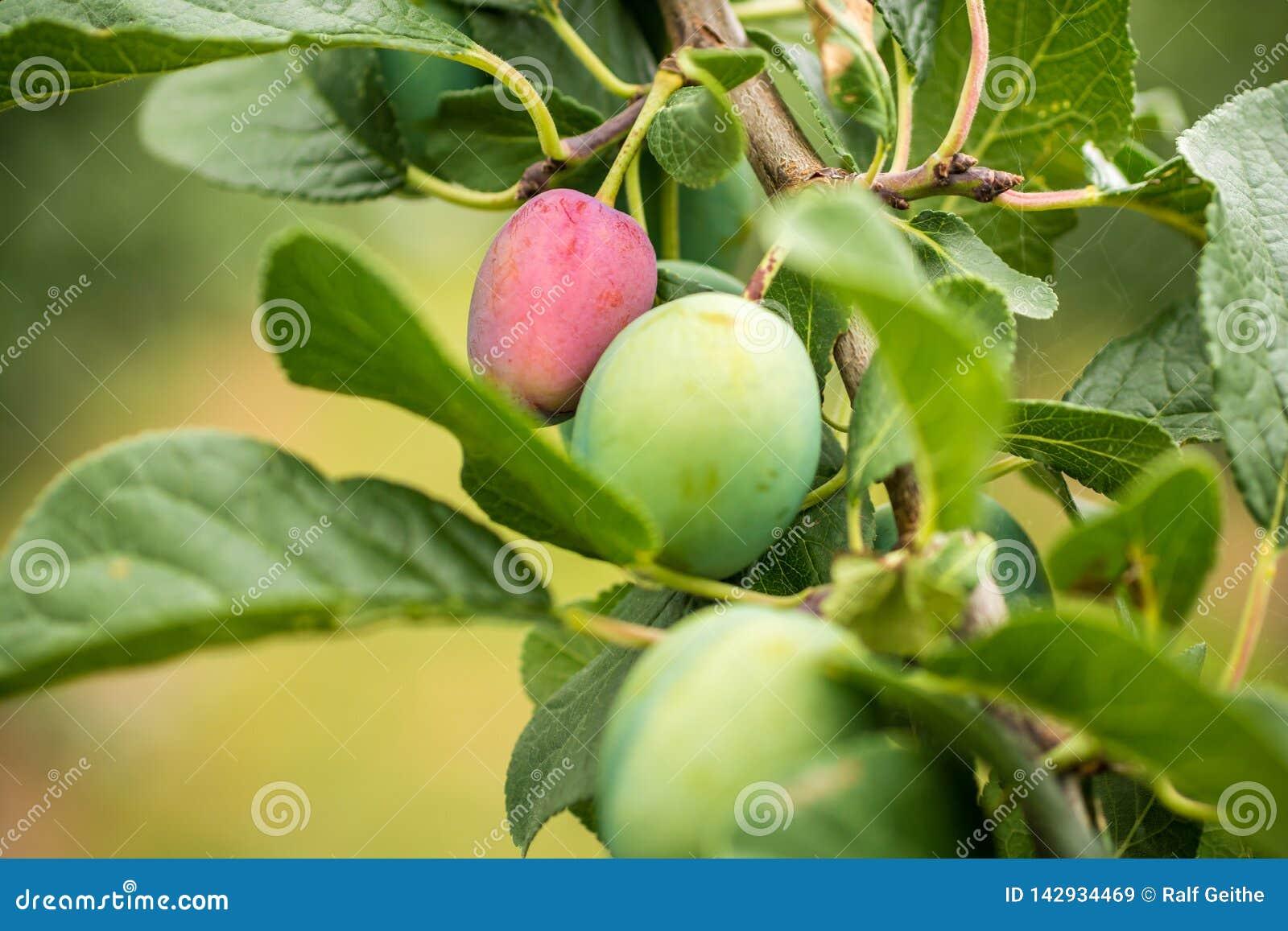 Ameixas em uma árvore de ameixa com fases diferentes da madureza do fruto