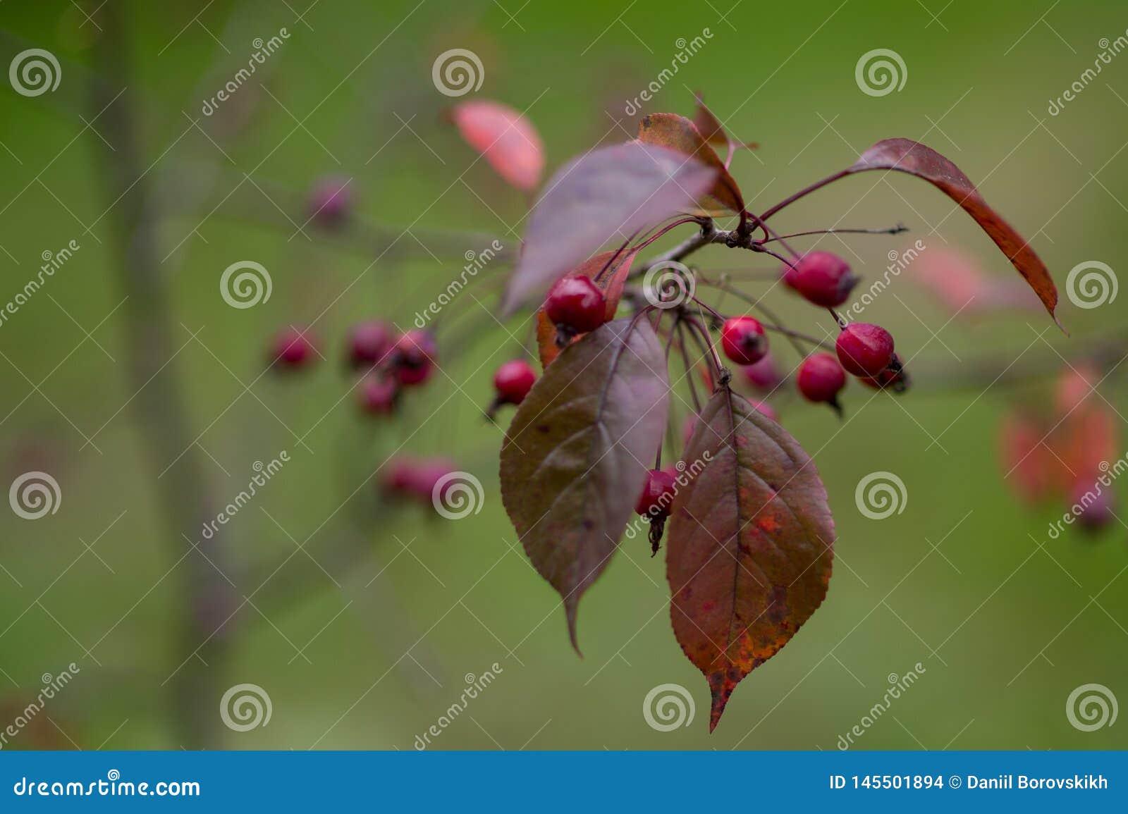 Amelanchier e folhas vermelhas