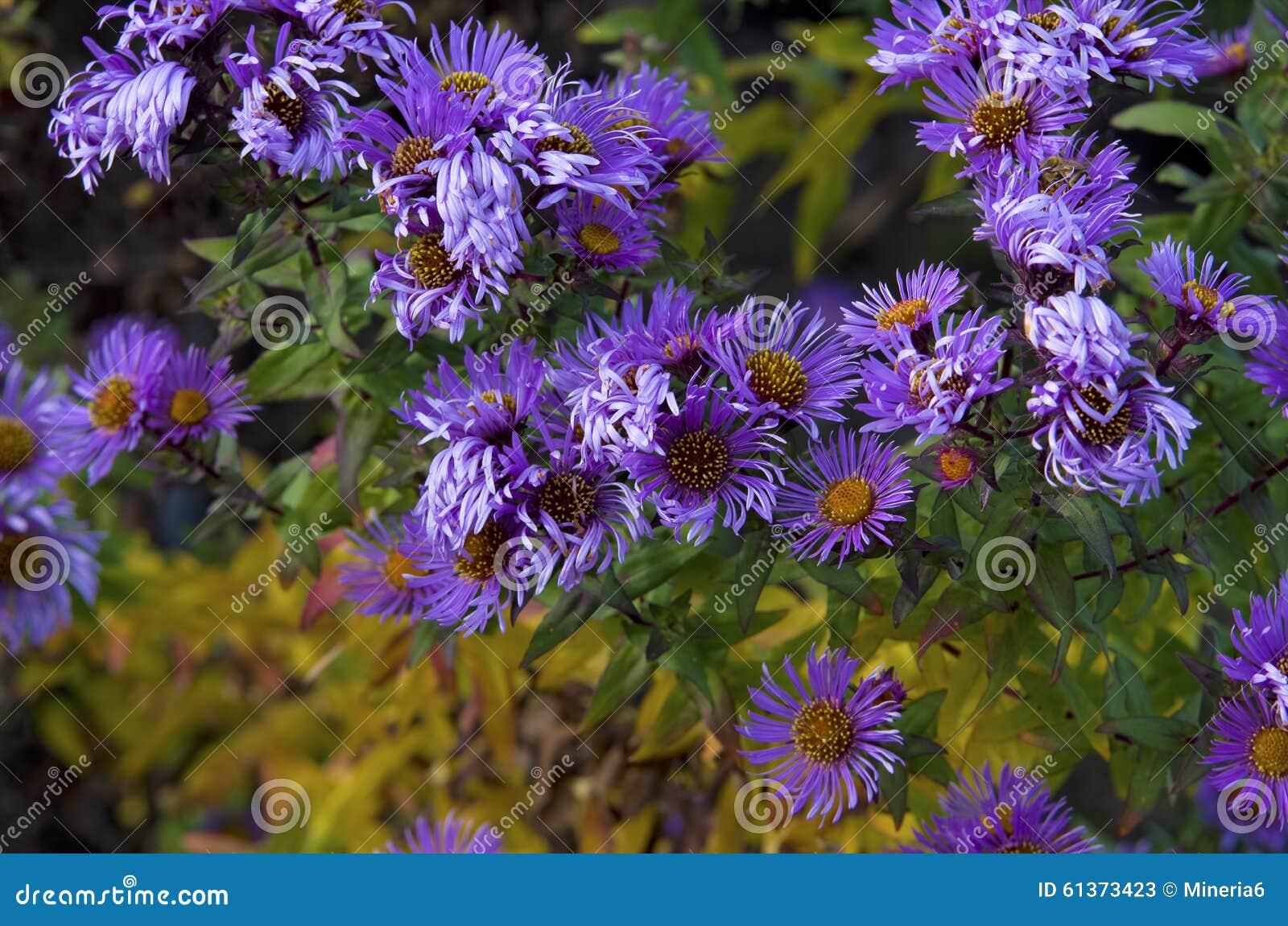 Amellus dell 39 aster immagine stock immagine di verbena - Aster pianta ...