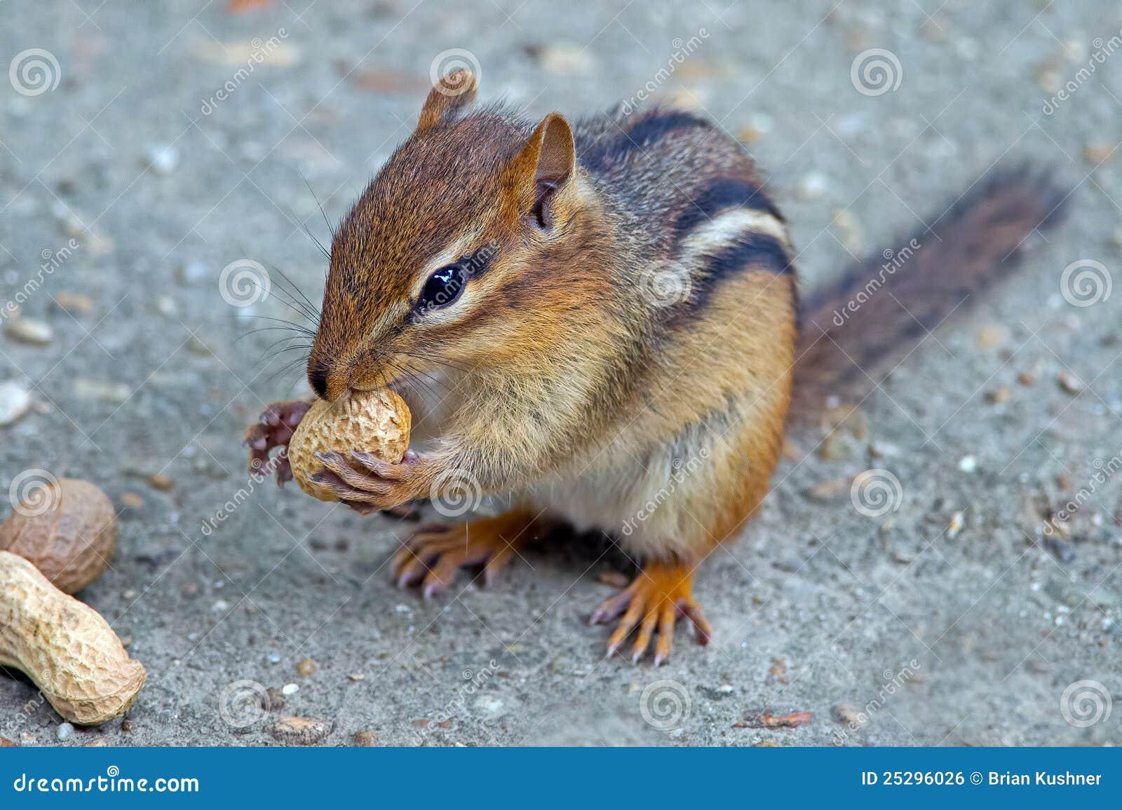 Amendoim de Earing do Chipmunk