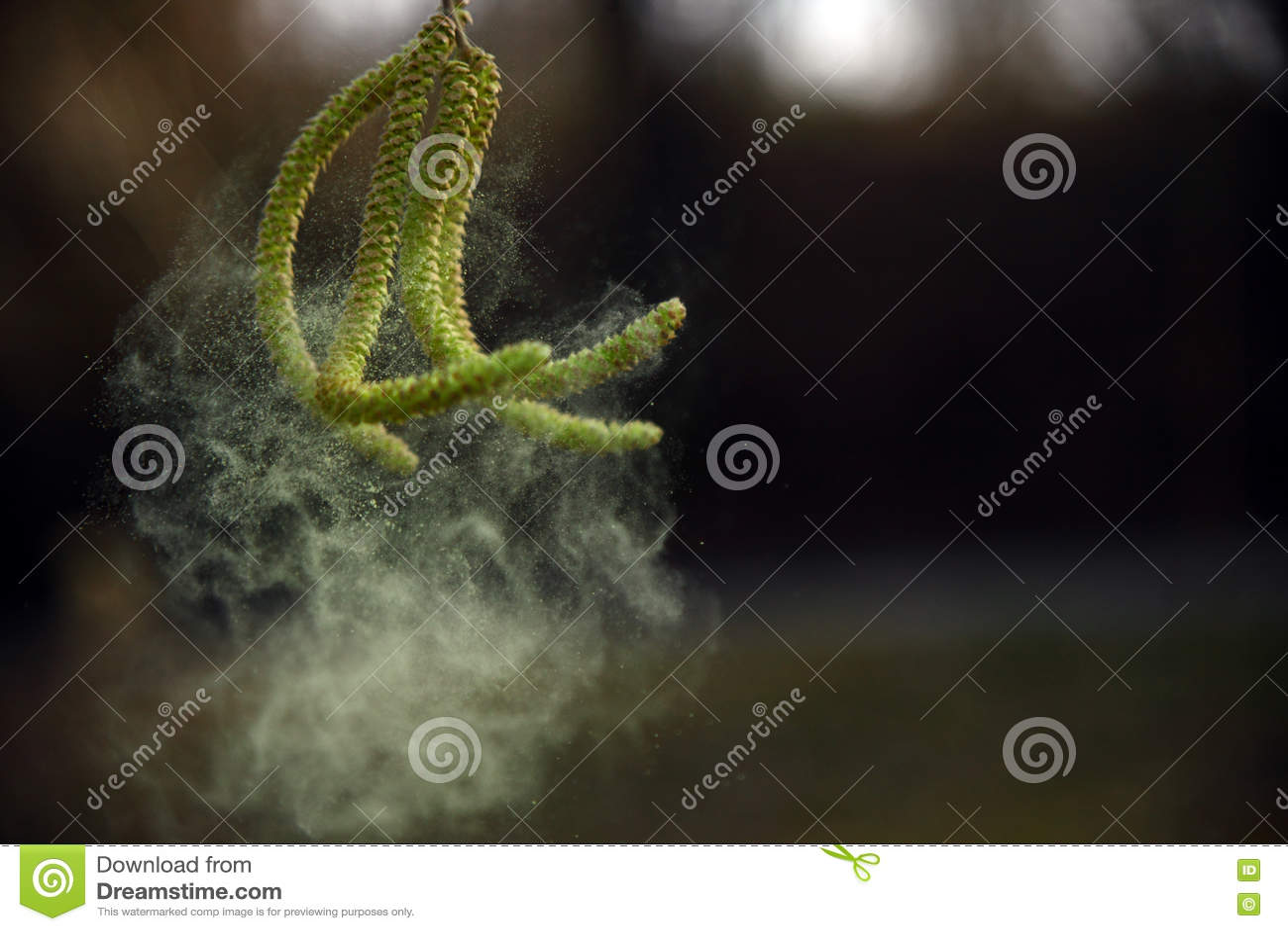 Amentilhos côr de avelã e dança do pólen no vento