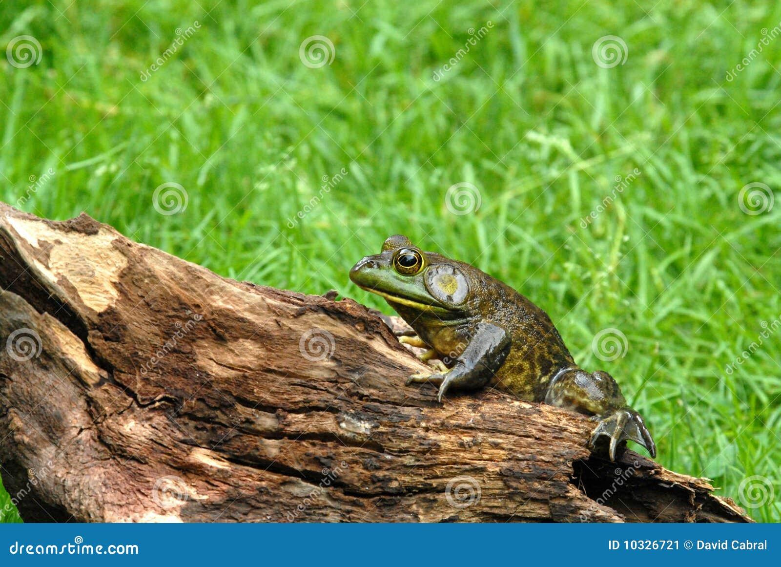 America bullfrog on log