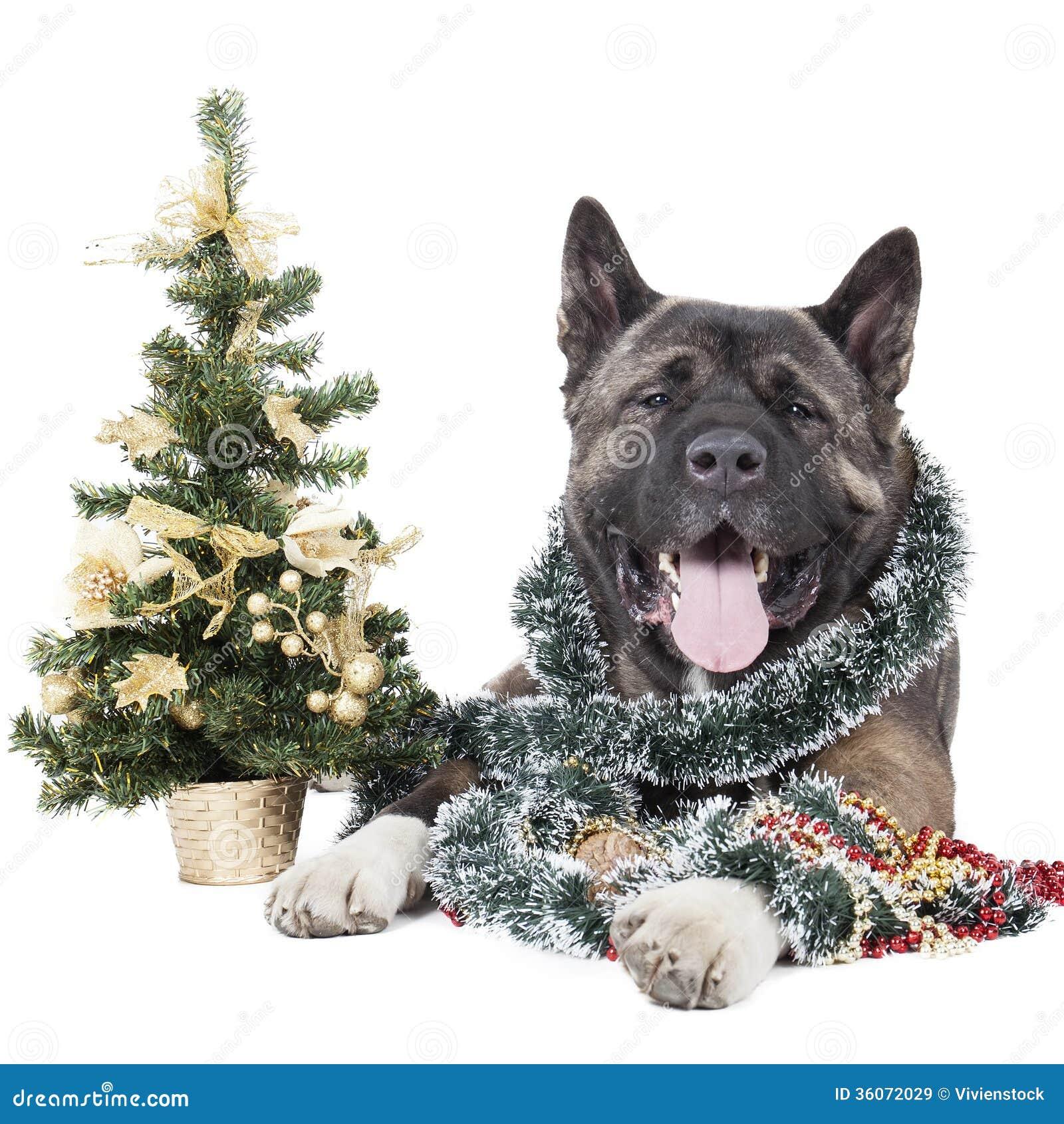 Big W White Christmas Tree: American Akita With A Christmas Tree Stock Image