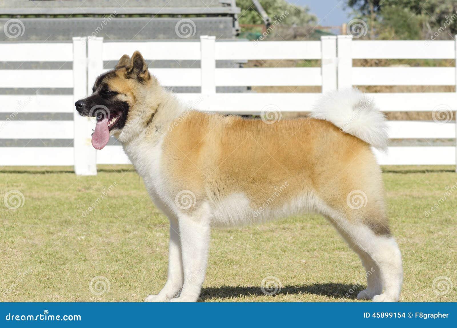 Pinto Dog Breed