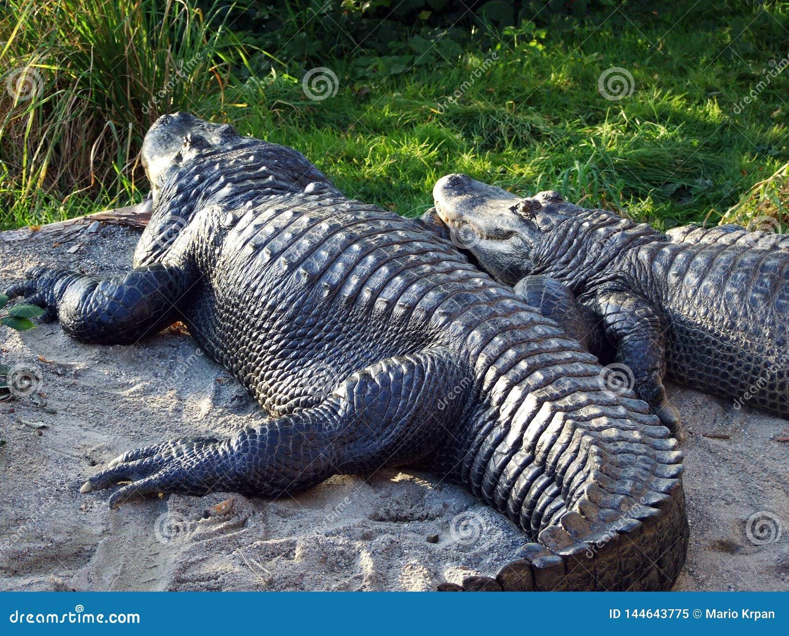 The American alligator Alligator mississippiensis, gator, common alligator, Der Mississippi-Alligator or Hechtalligator