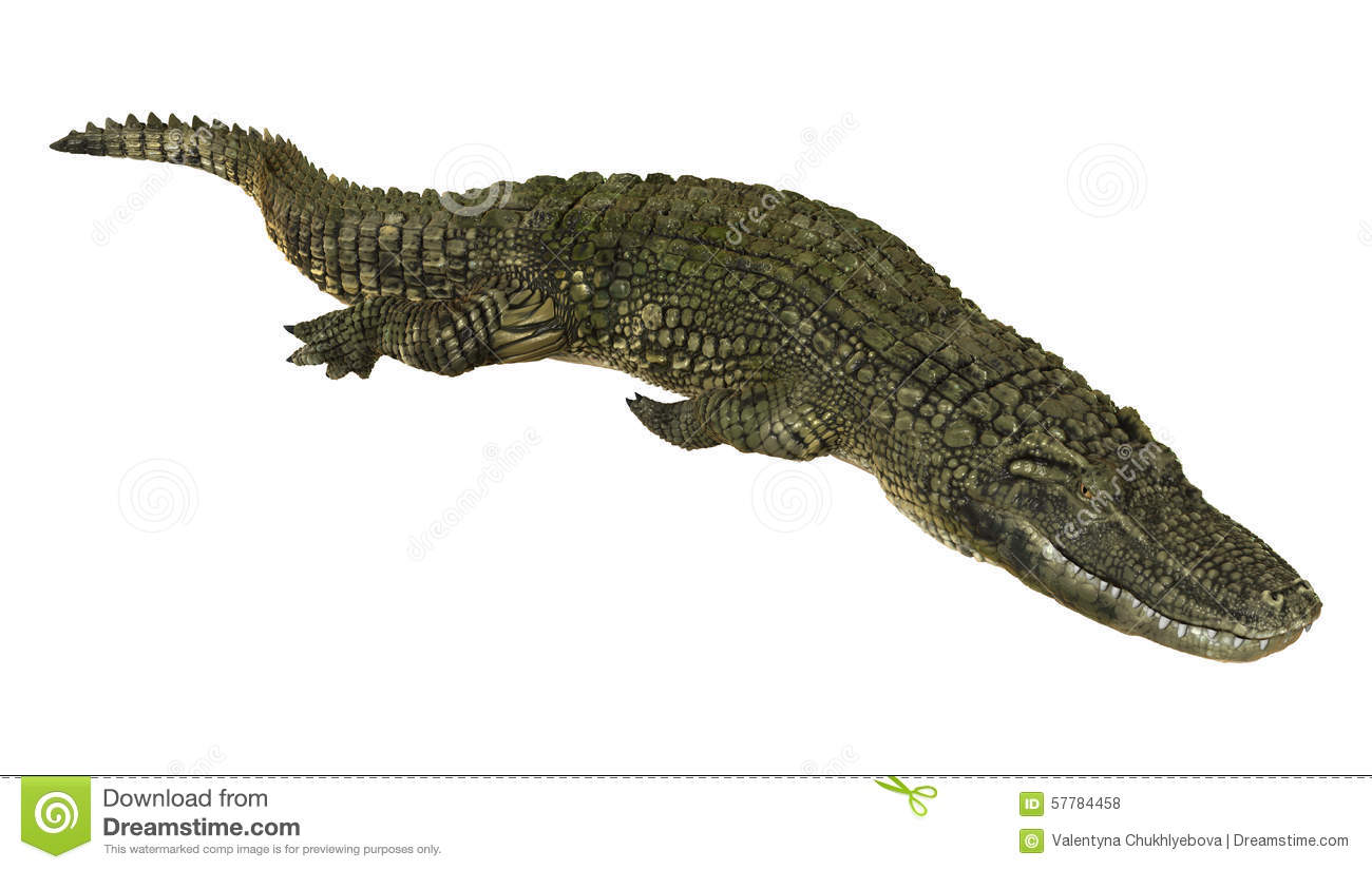 a description of american alligator and preventing measures from hunting them The american alligator  american alligators are found in the southeast united states: preventing the tongue from moving.