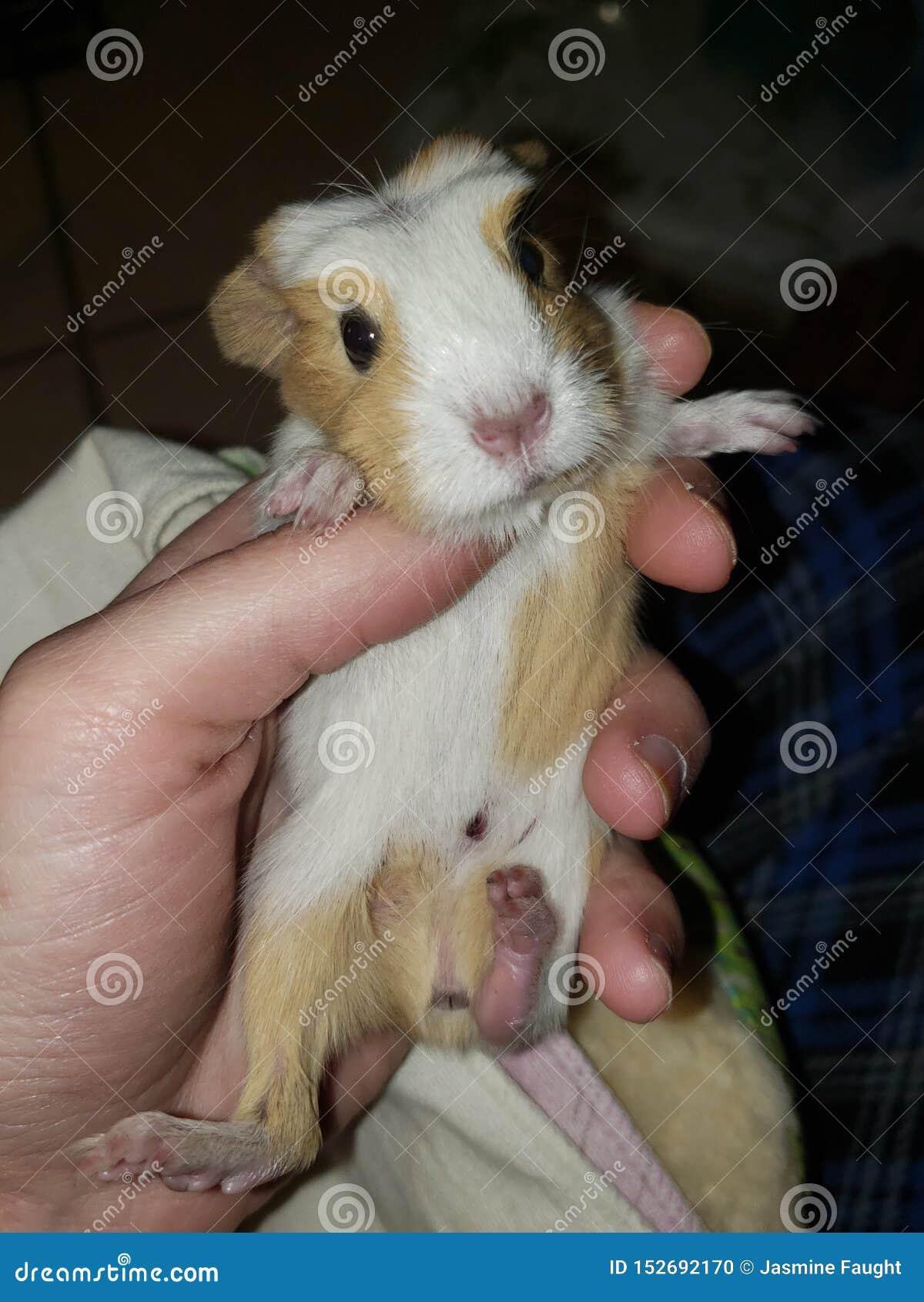 American baby guinea pig