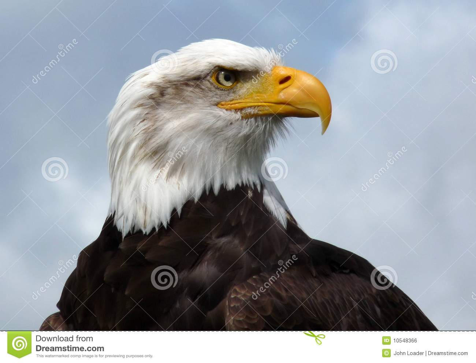 Bald eagle head front - photo#20