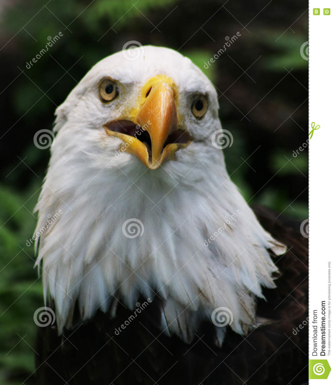 Magnificent Eagle 6.5 Download Adornment - Everything You Need to ...
