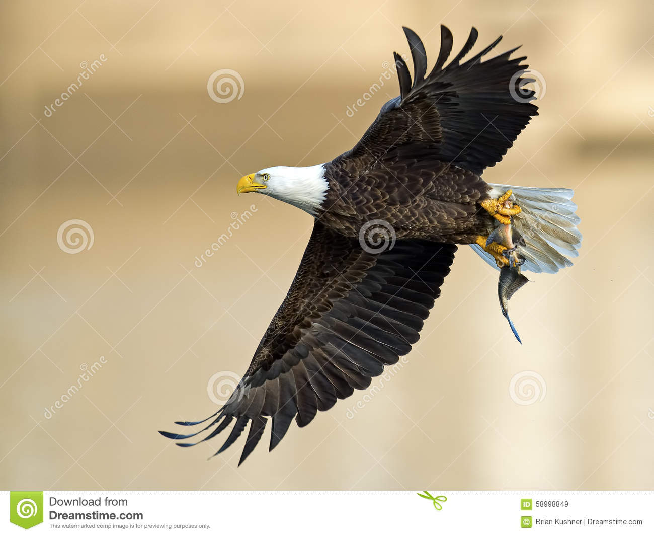 American Bald Eagle With Fish Stock Image - Image of ...