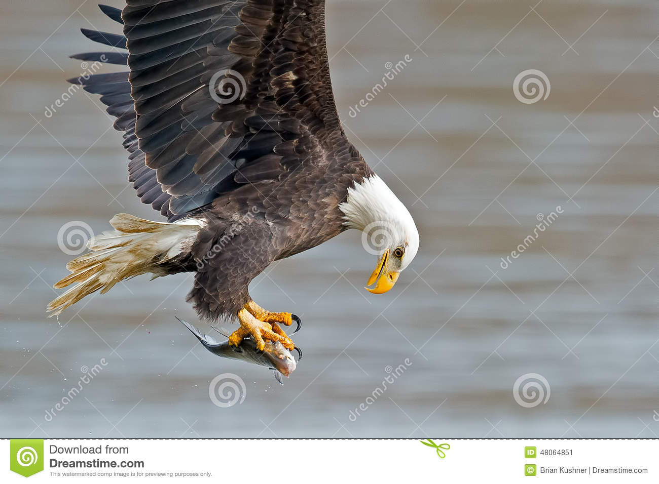 American Bald Eagle Fish Grab