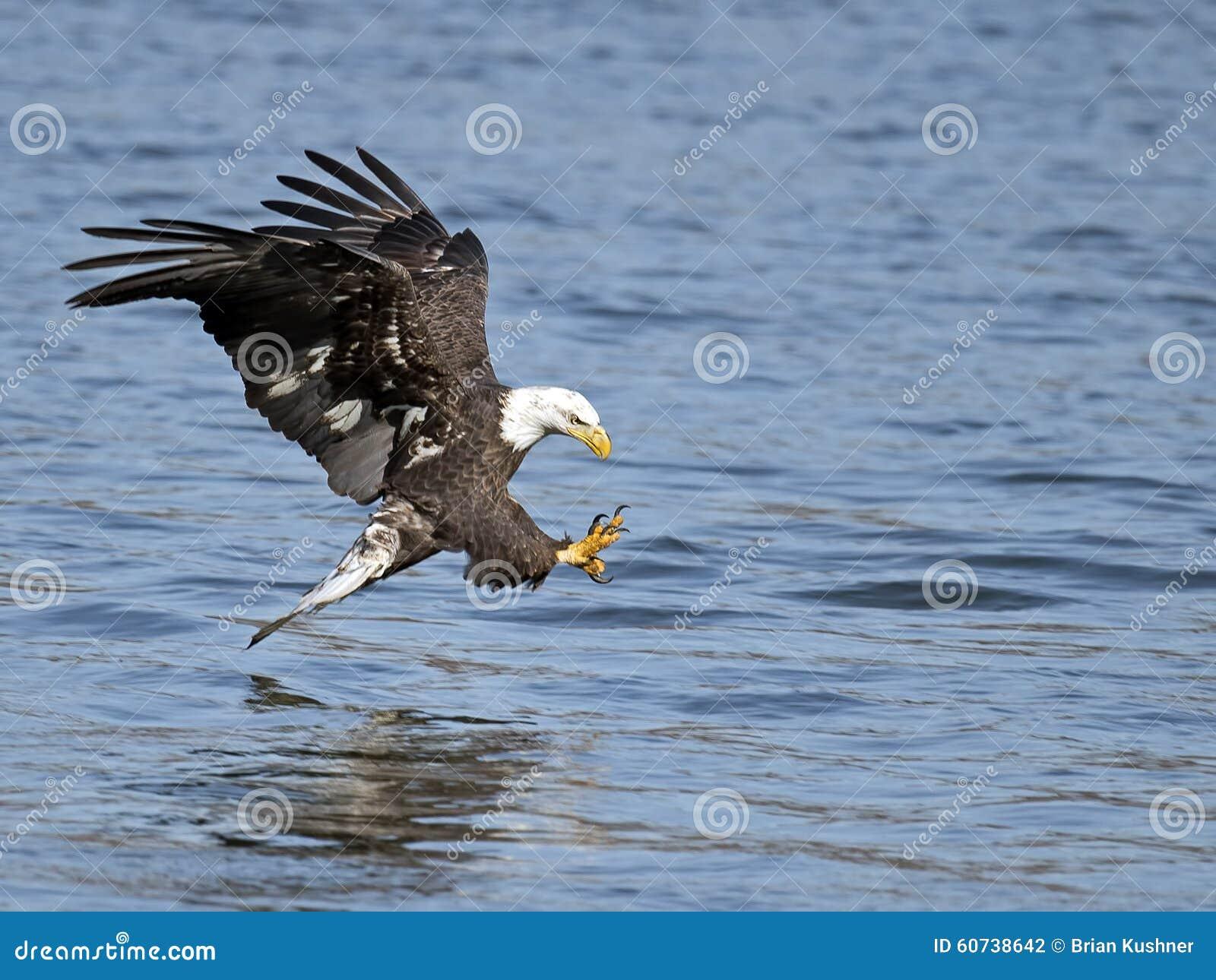 American Bald Eagle Fish Grab