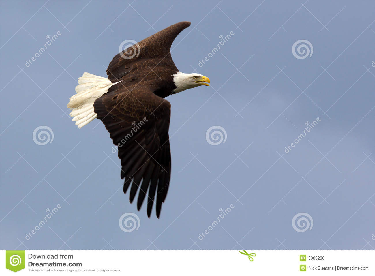 American Bald Eagle In Flight Stock Photo Image Of Copy Side 5083230
