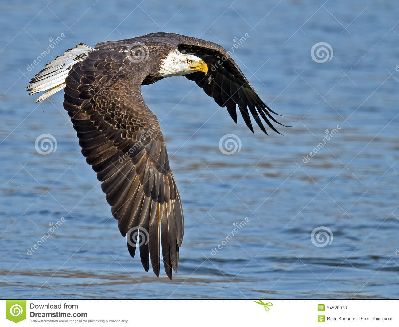 American Bald Eagle In Flight Stock Photo Image Of Talons Blue