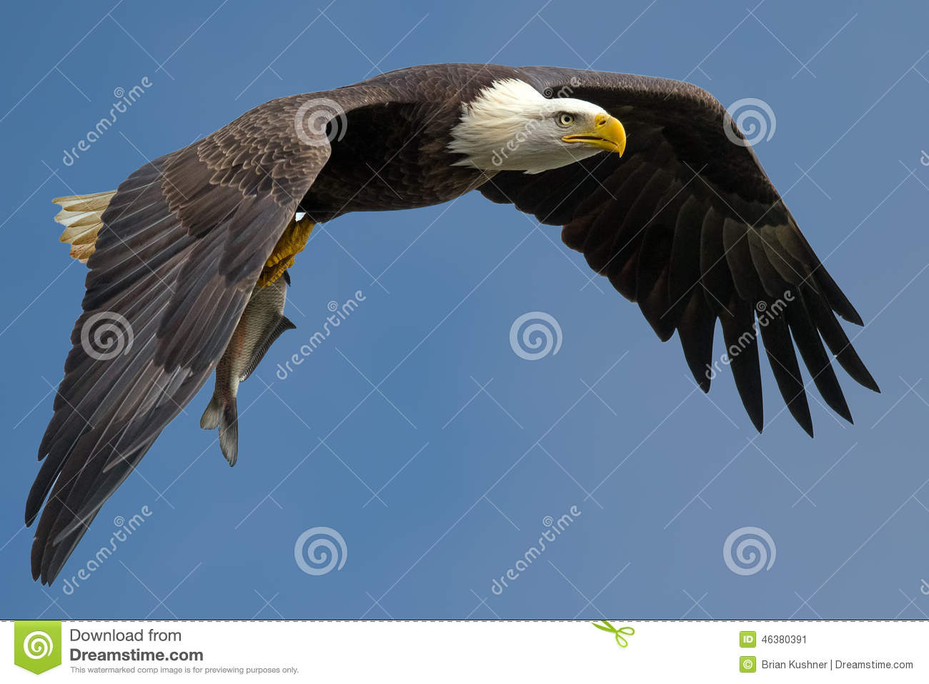 american bald eagle essay Before a bald eagle can soar majestically through the sky, it must learn how to fly  get a firsthand look  twelve winning essays from the yna 2001 contest year.