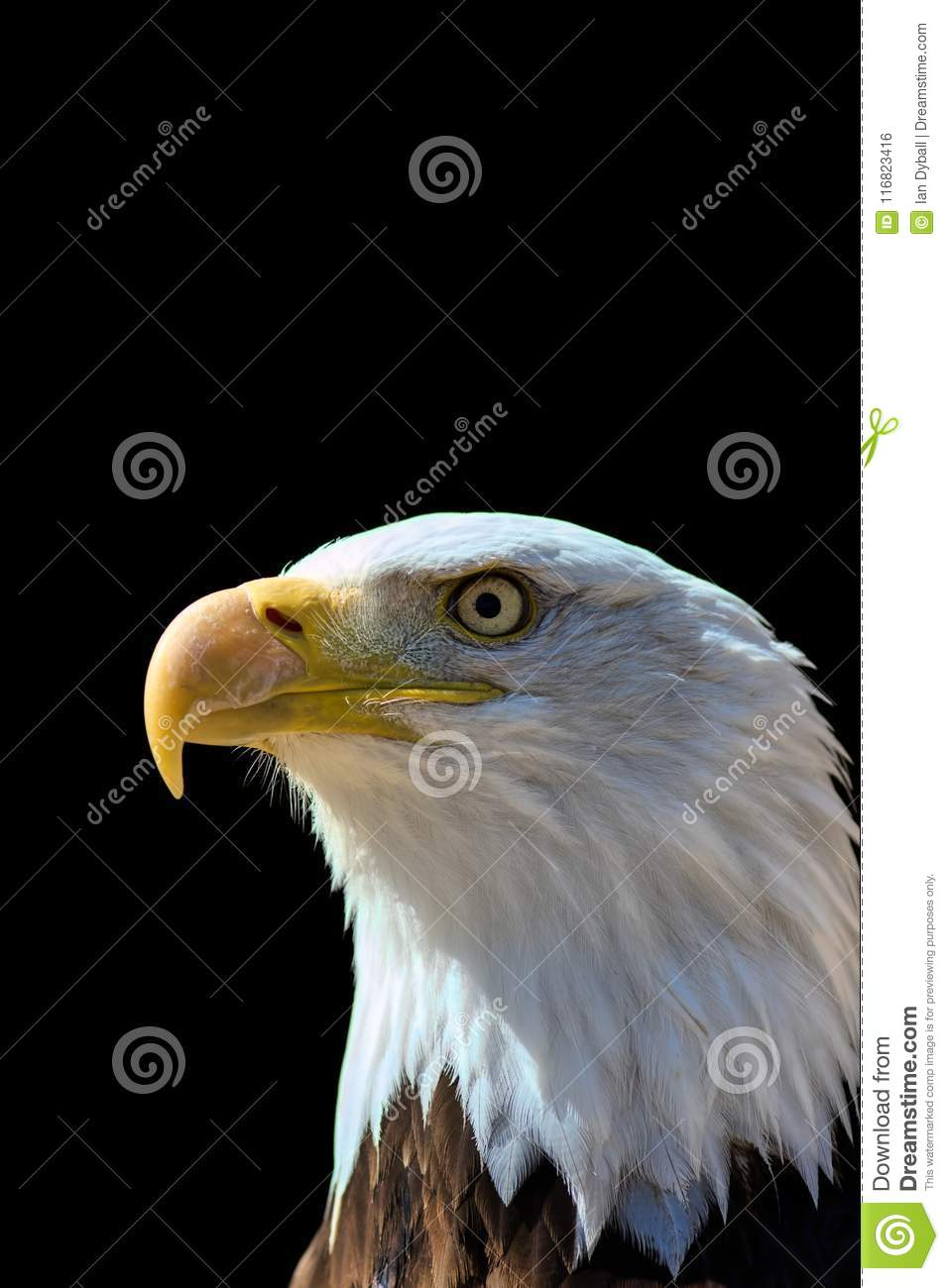 American Bald Eagle Usa Pride And Patriotism In National Bird