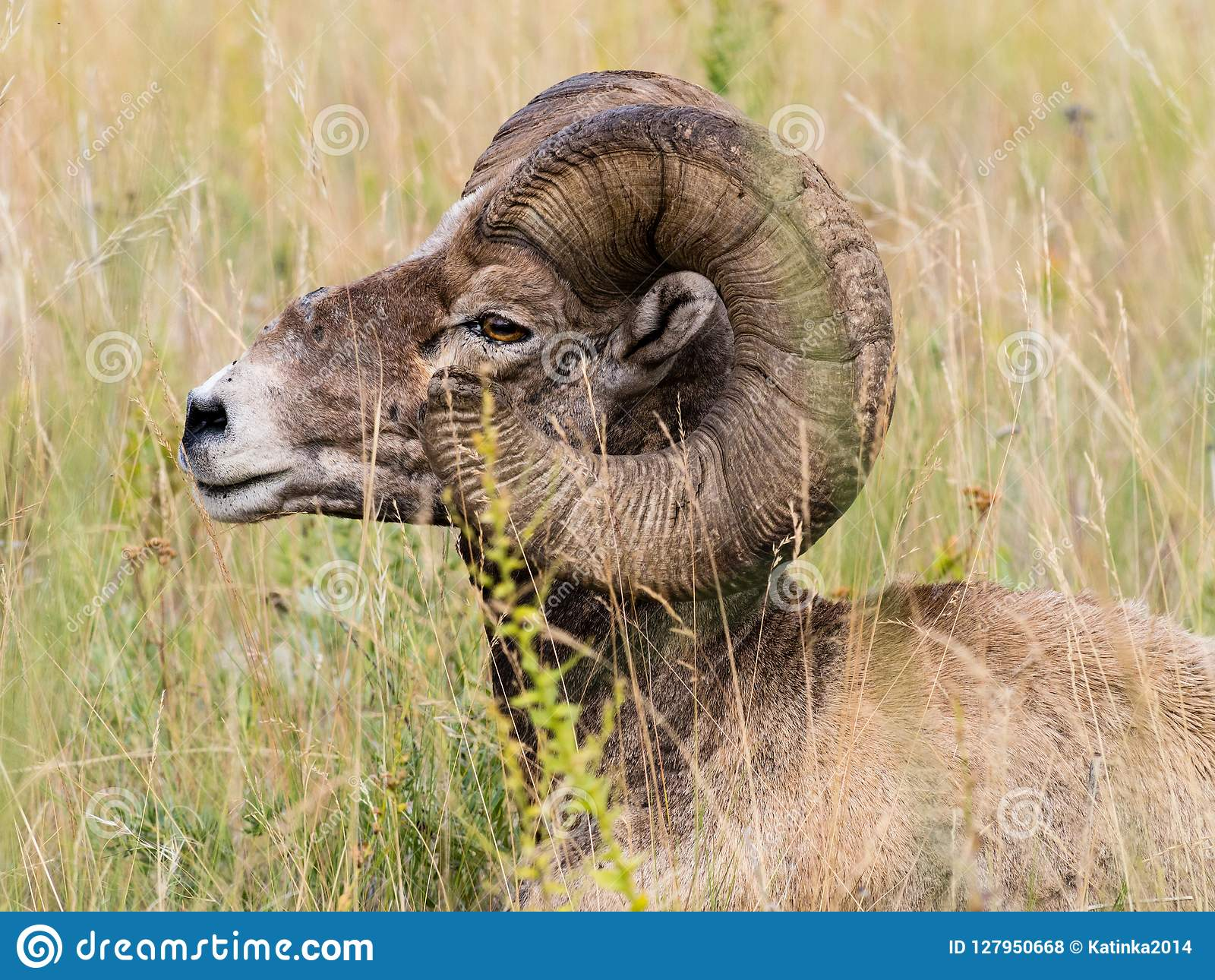 American bighorn sheep sitting in the grass