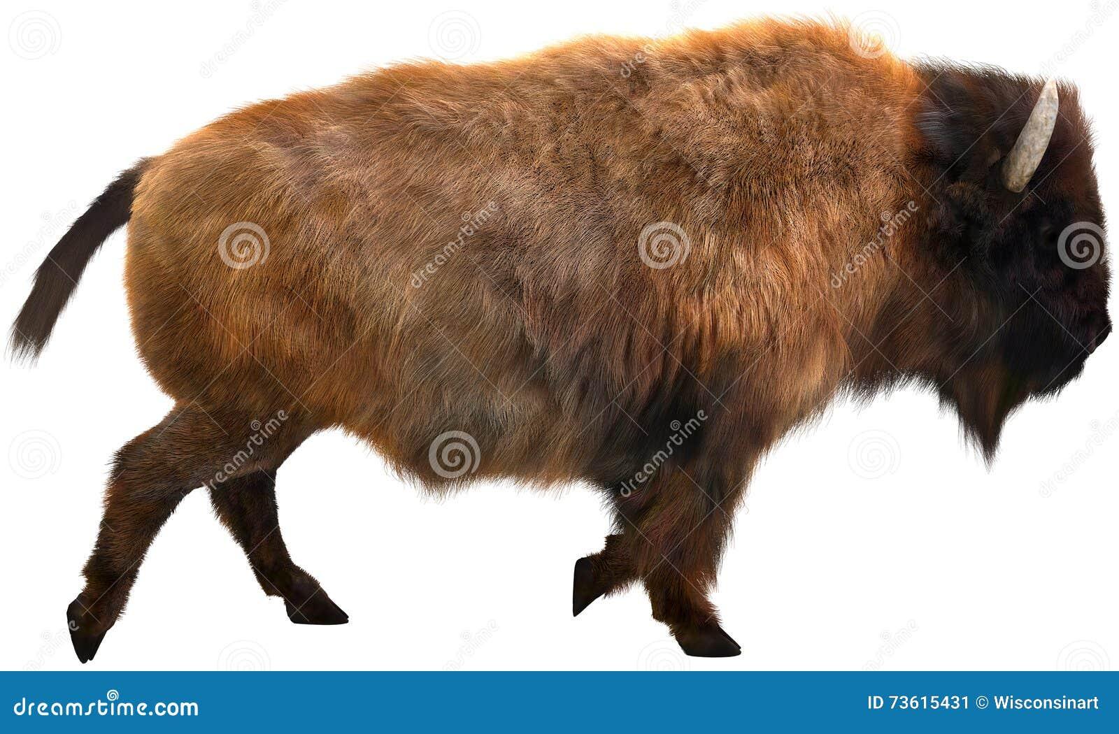 American Bison, Buffalo, Isolated Illustration