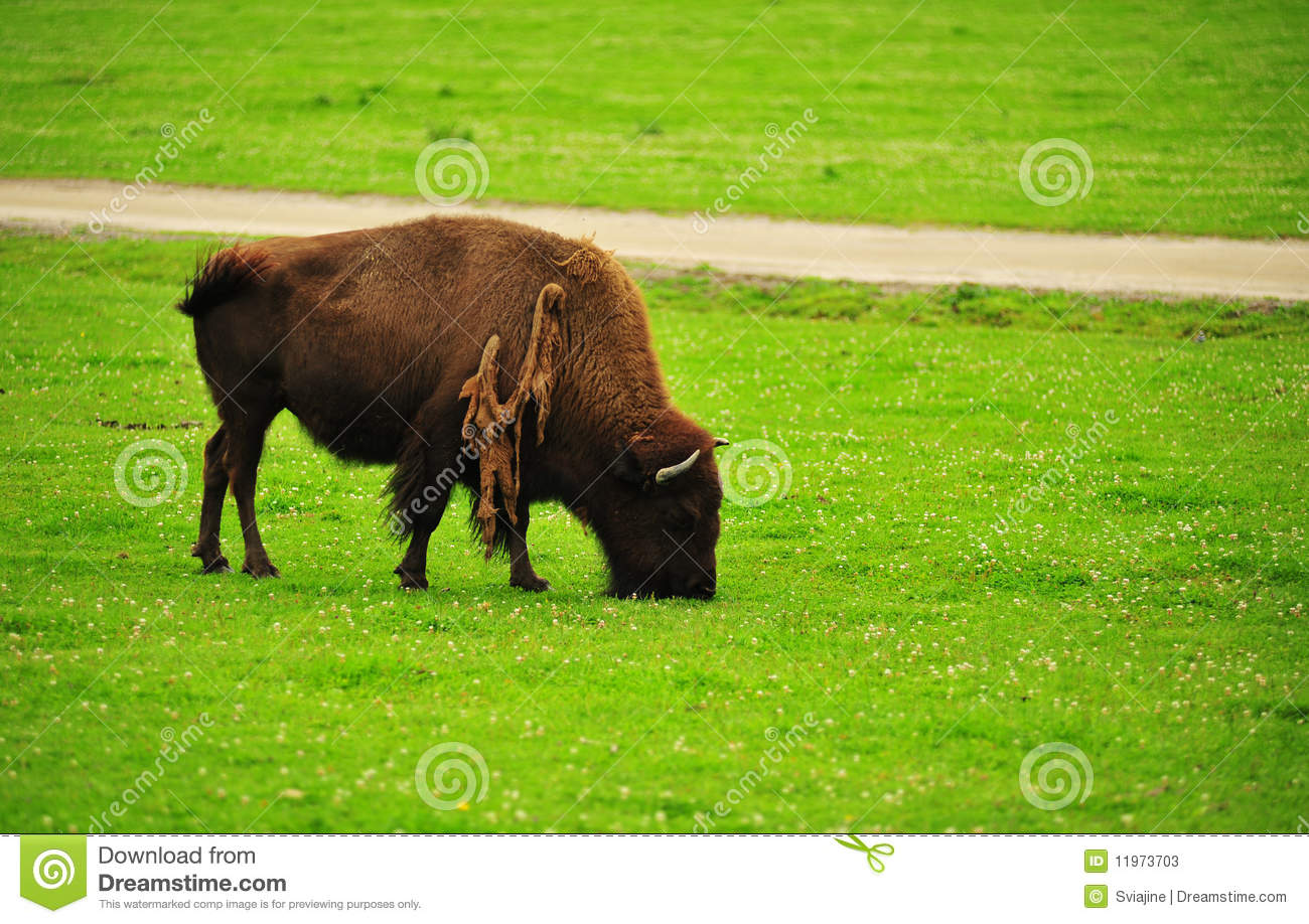 A Bison Eats American Bison On A Fi...