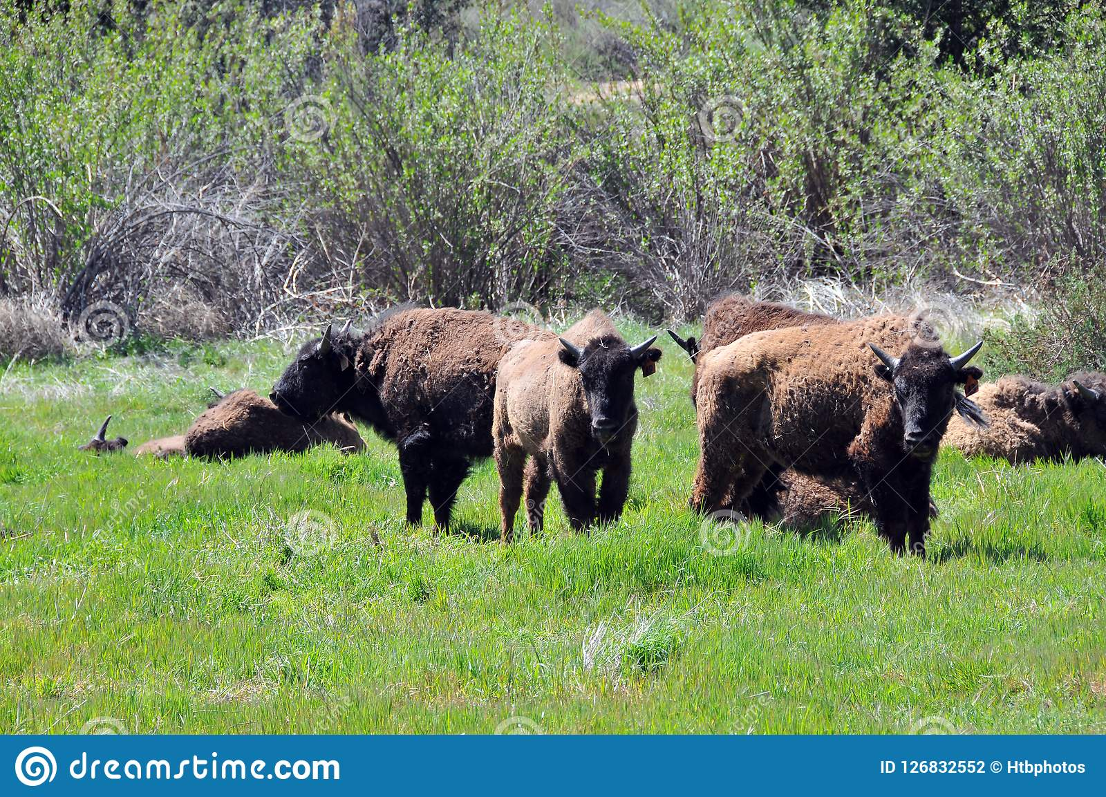 American Bison Herd in San Diego County California