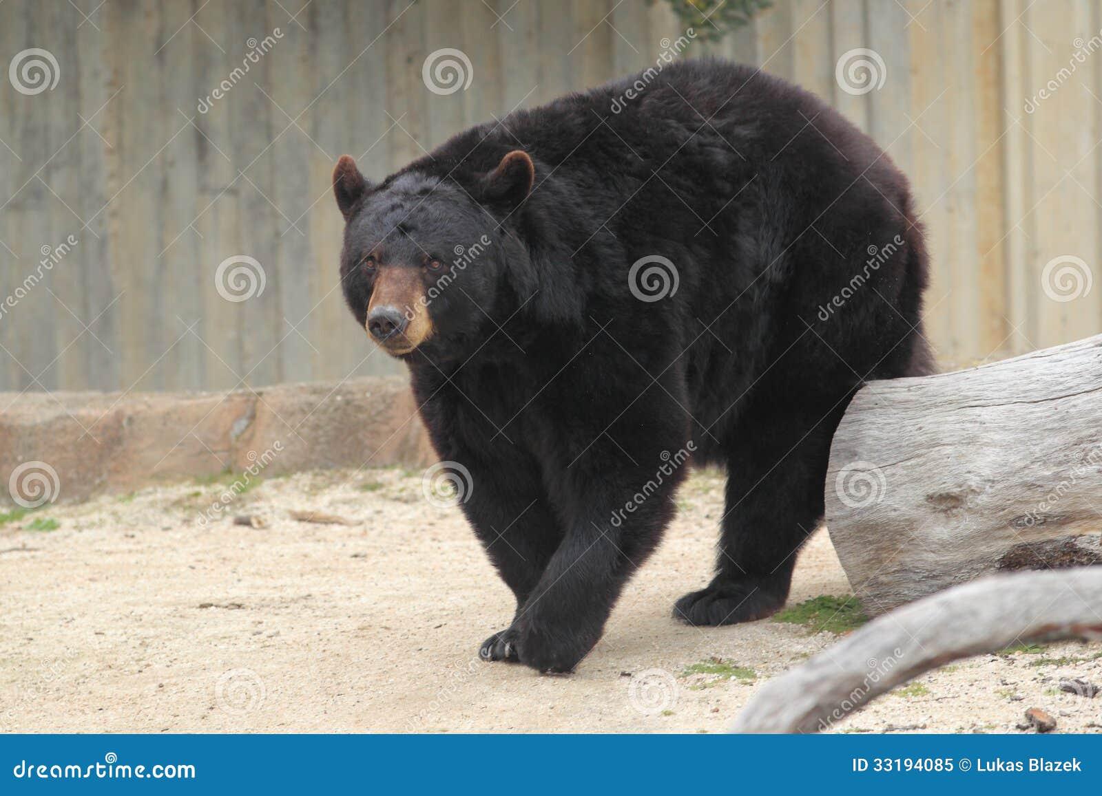 american bear adult