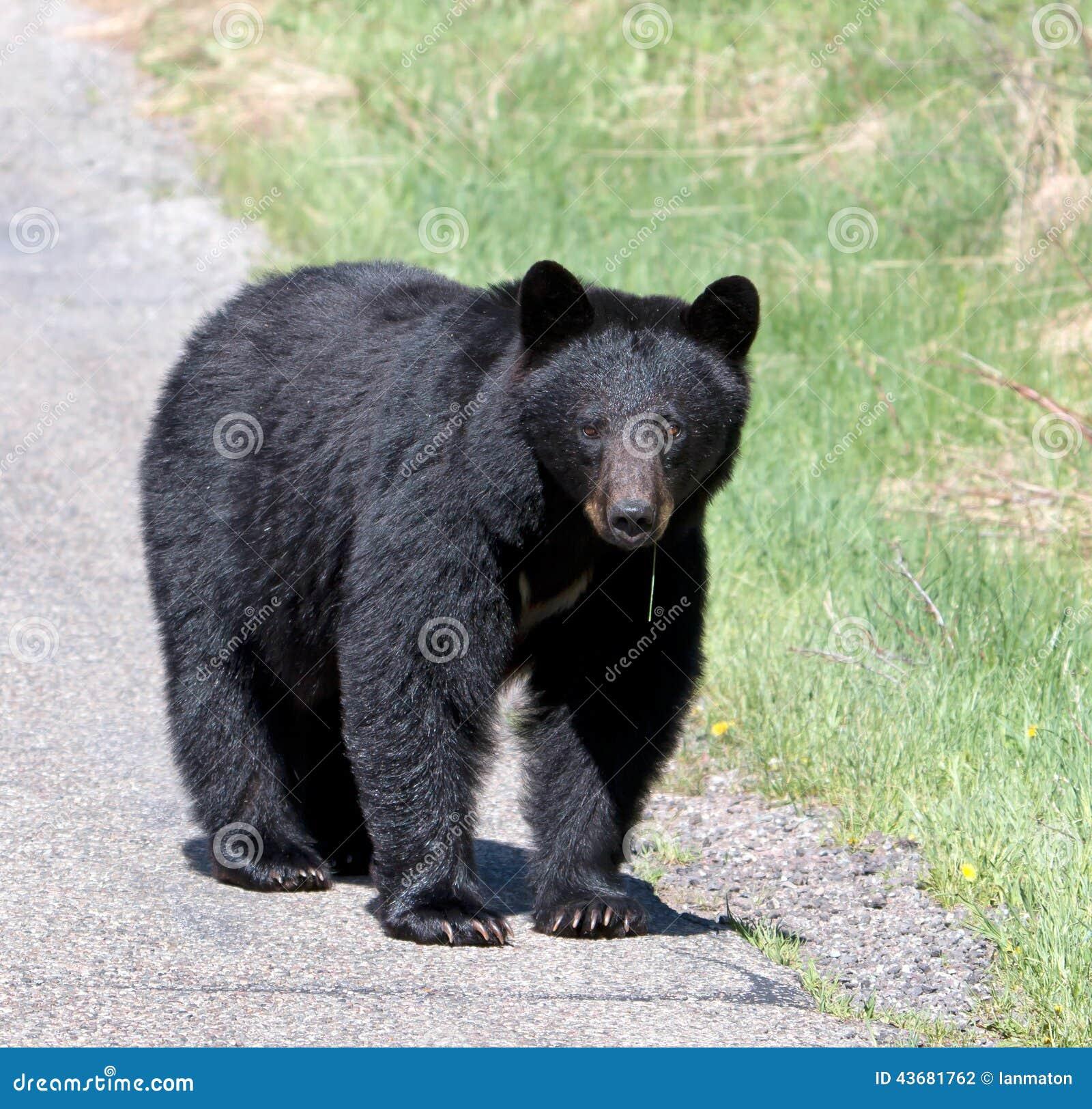 Black Bear North Americas Bear