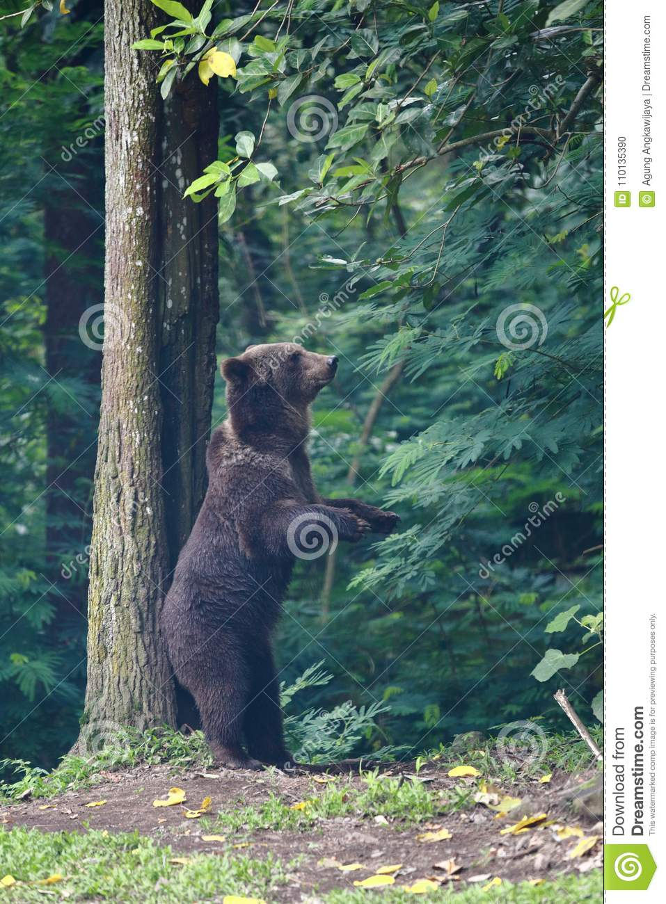 American Black Bear Scratcing Back Stock Photo - Image of woods ...