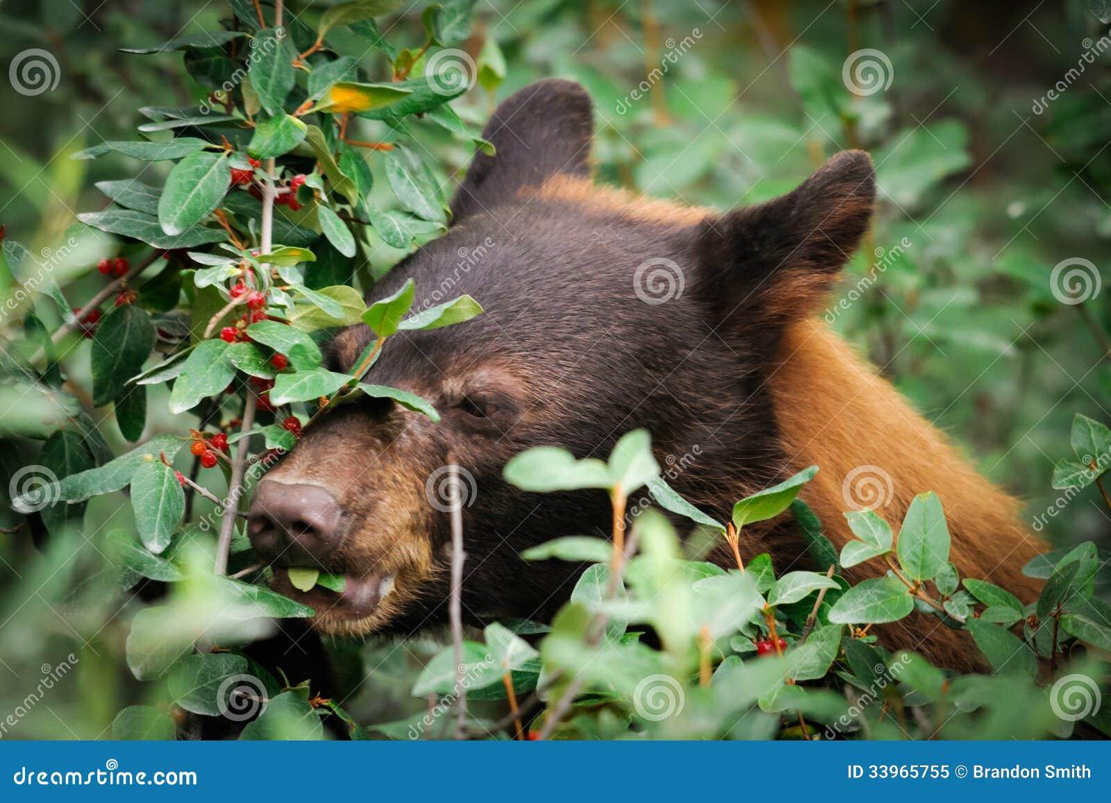 Cinnamon coloured Black Bear feeding on berries, Kananaskis Country ...
