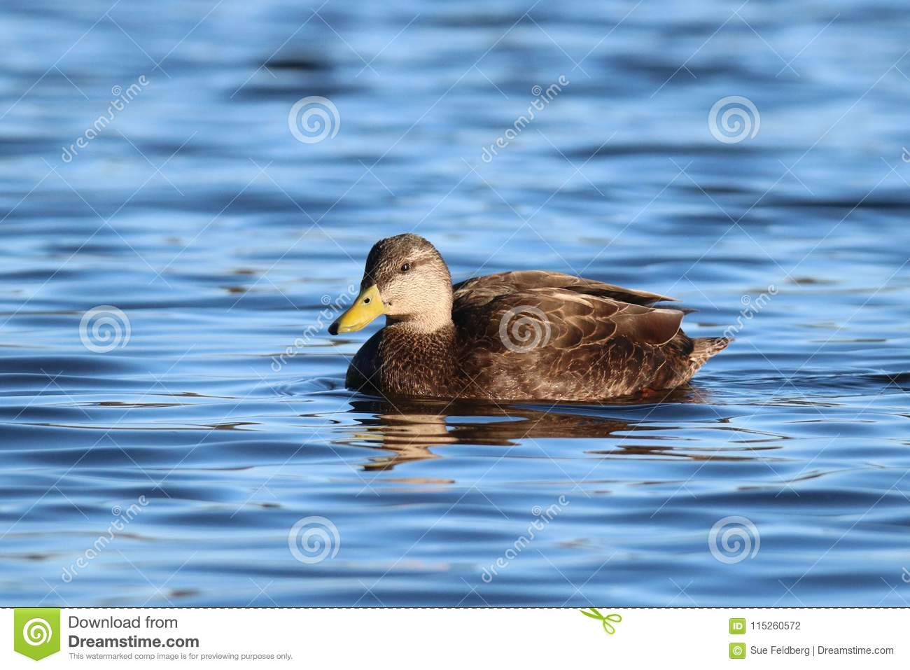 American Black Duck Swimming on a Blue Lake