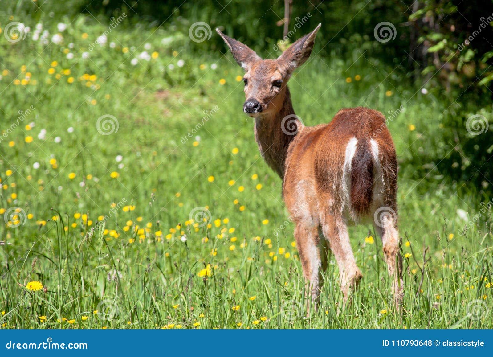 American black tail deer in a grassy field